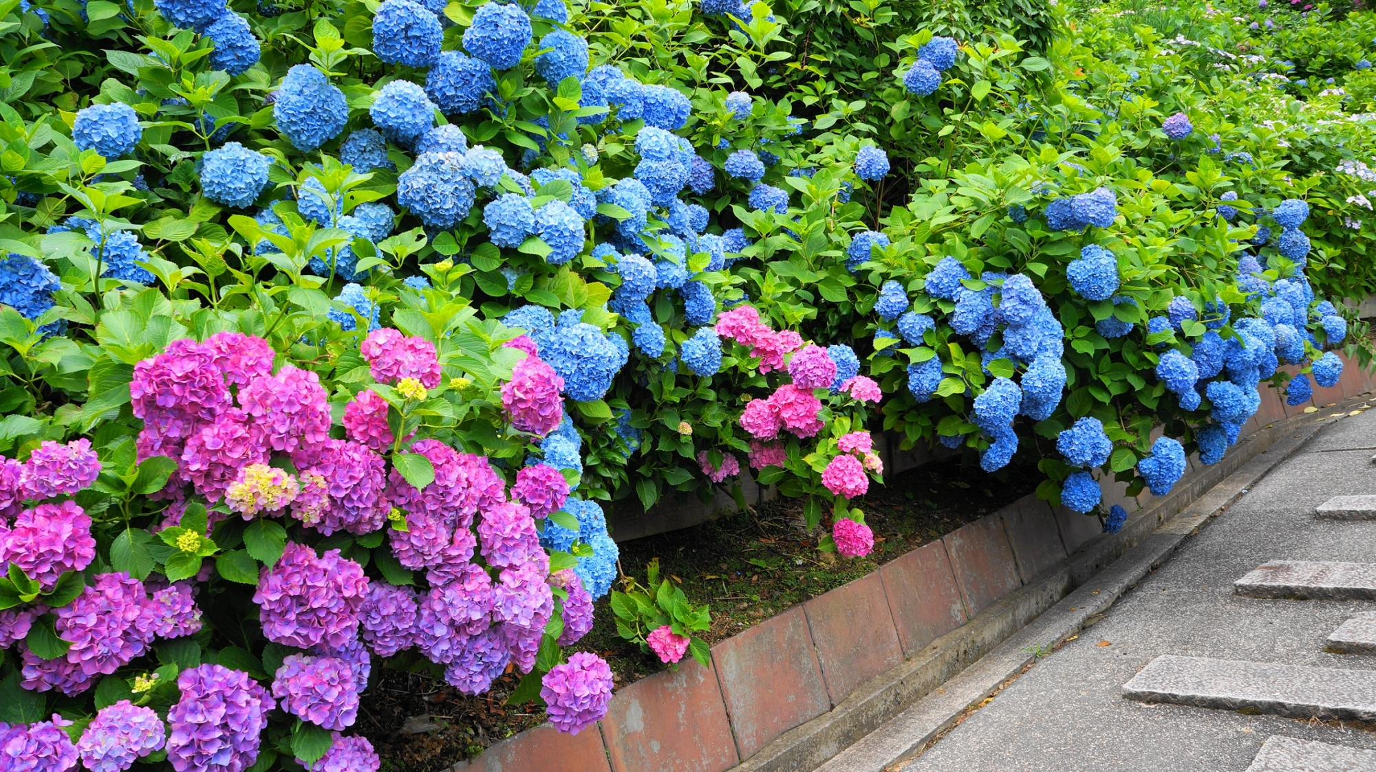 善峯寺の参道にこぼれ落ちそうな満開の紫陽花