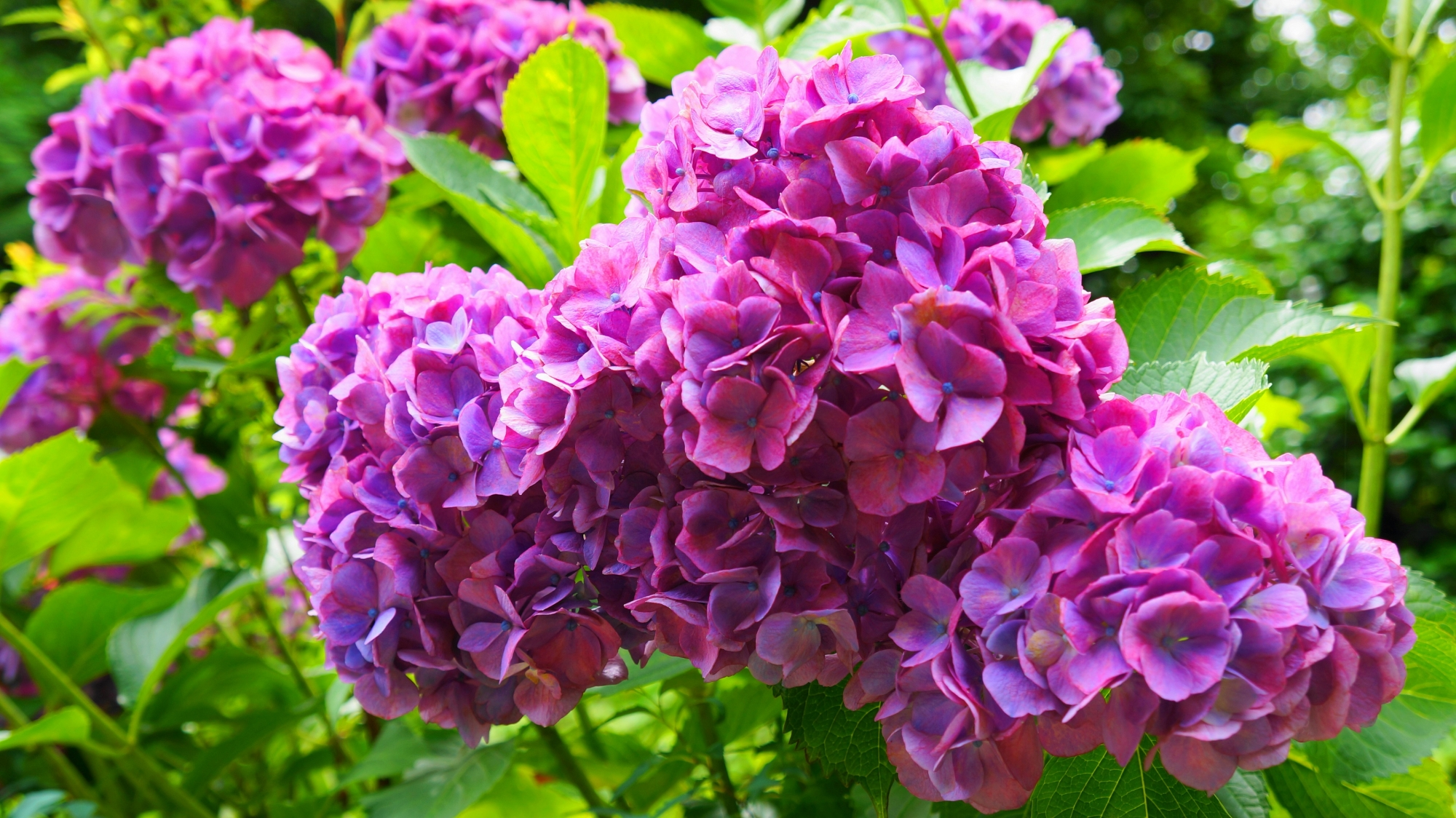 善峯寺の煌く鮮やかな紫の紫陽花