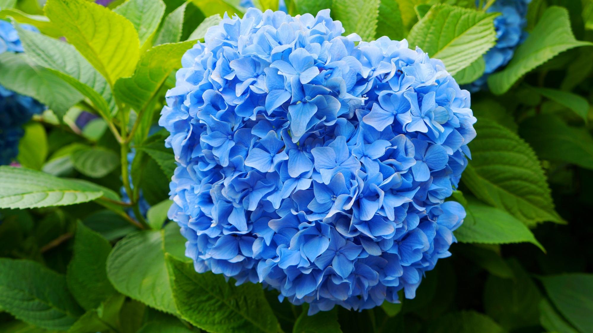 花びらのいっぱい詰まった見事な青い紫陽花