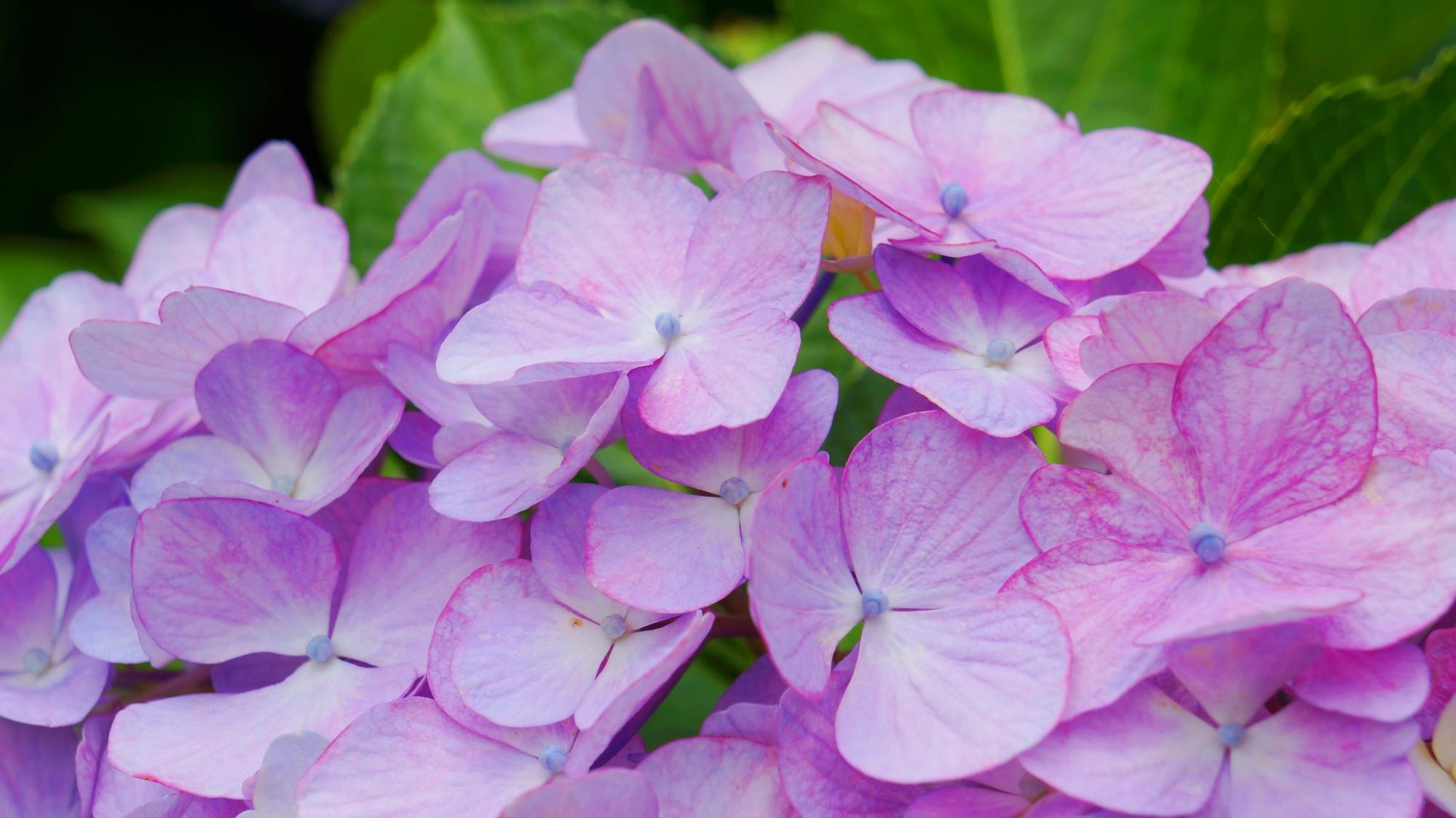 花びら一枚一枚非常に繊細で可憐なあじさい