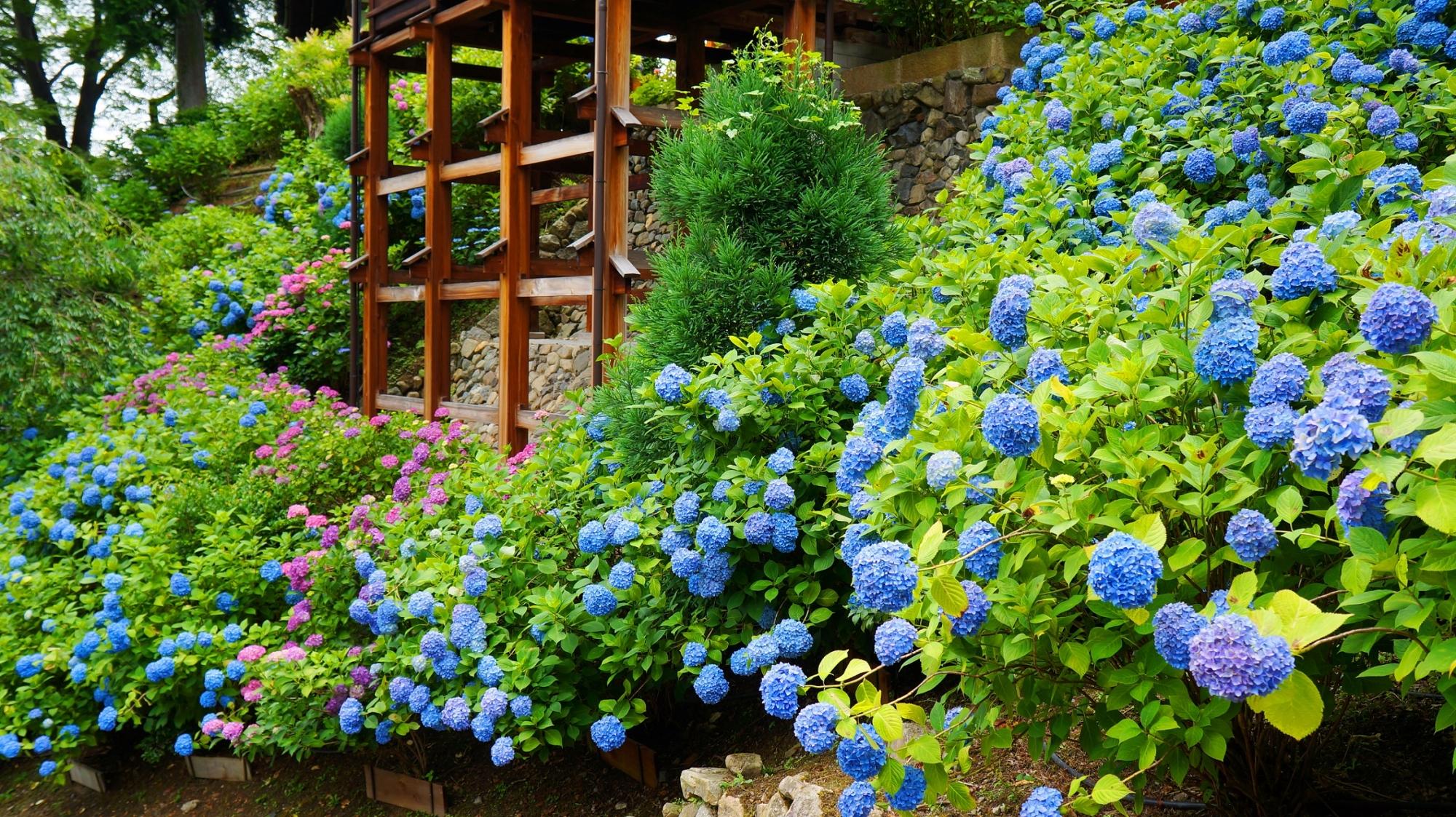 善峯寺の弾けんばかりに咲き誇る元気な紫陽花