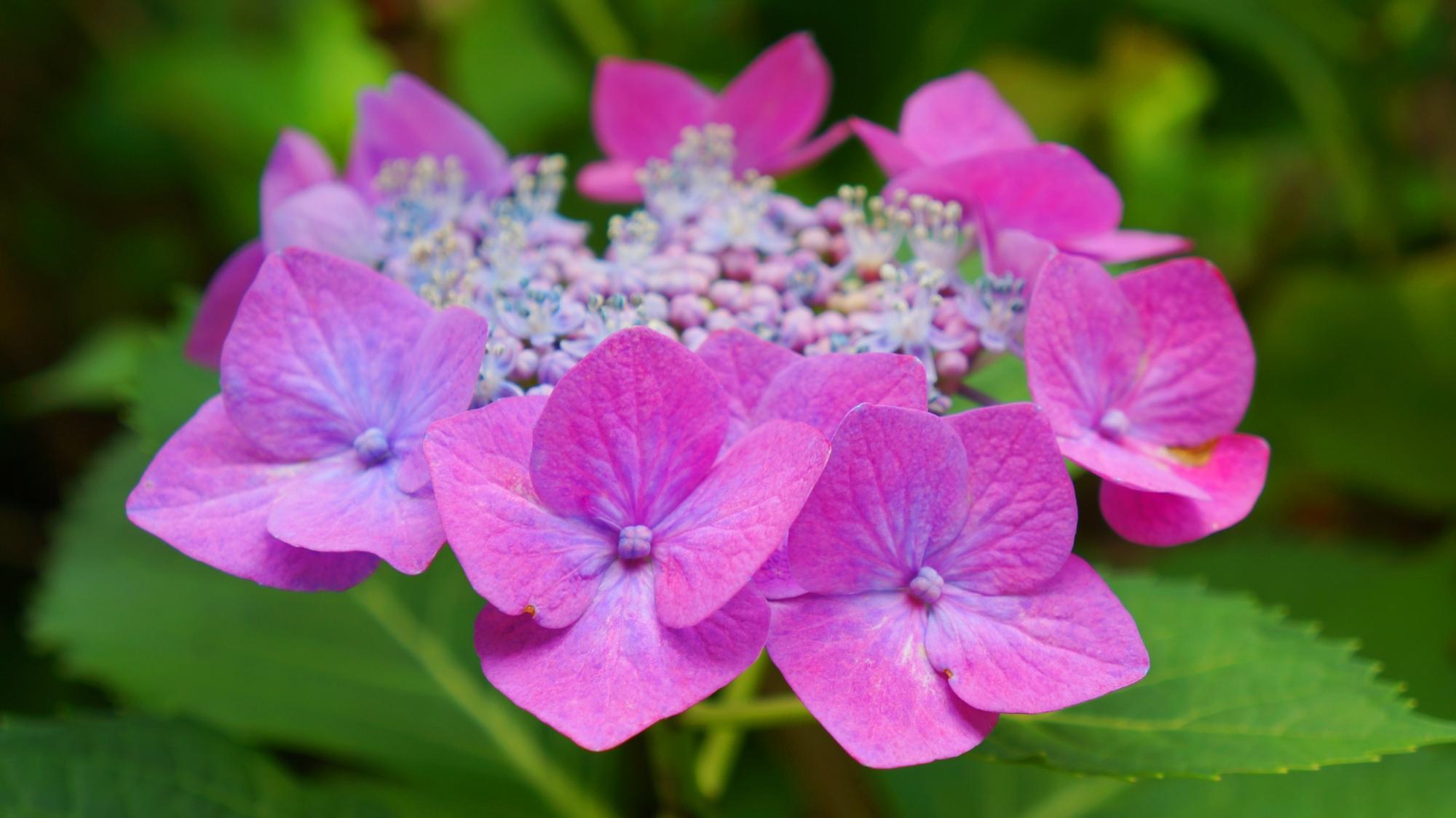 善峯寺の華やかな紫の額紫陽花