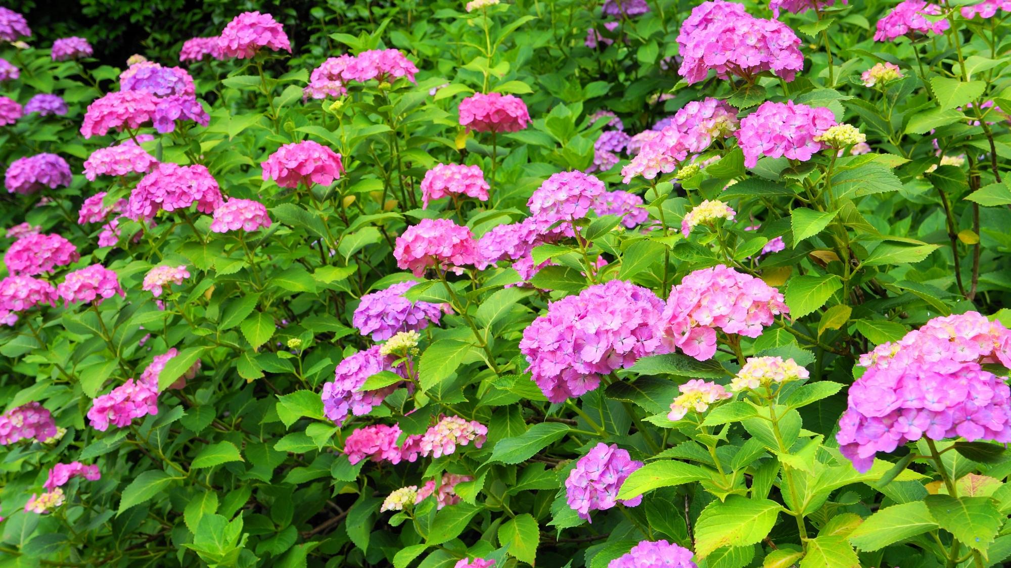 眩い緑の上で咲き誇るピンクの紫陽花