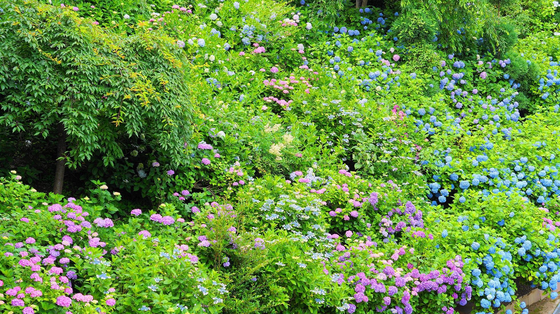 善峯寺の緑の中で華やぐ色とりどりの紫陽花