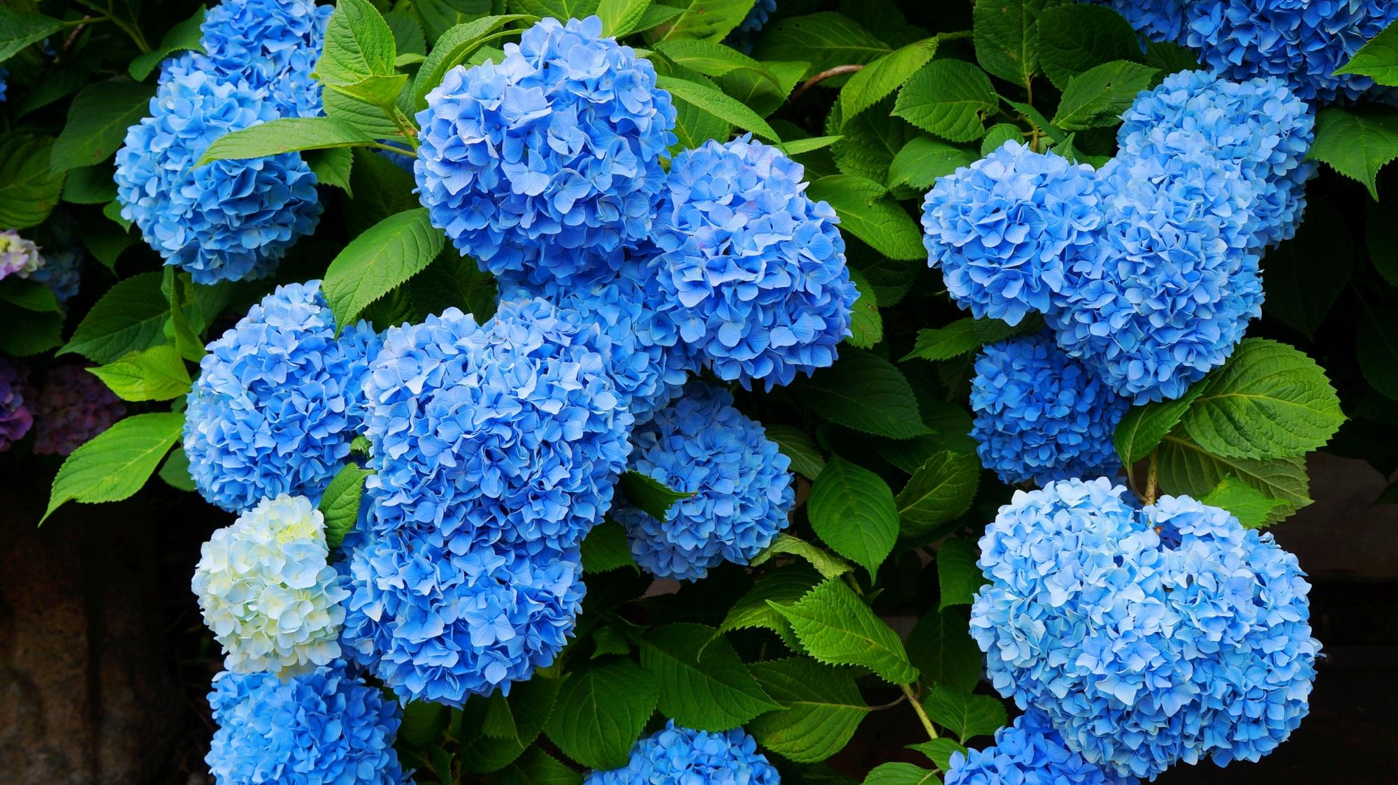 善峯寺の元気に咲き誇るブルーの紫陽花