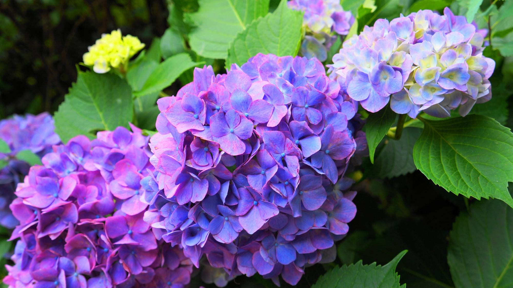 同じ紫でも色合いや色の強弱が花ごとに違うアジサイ