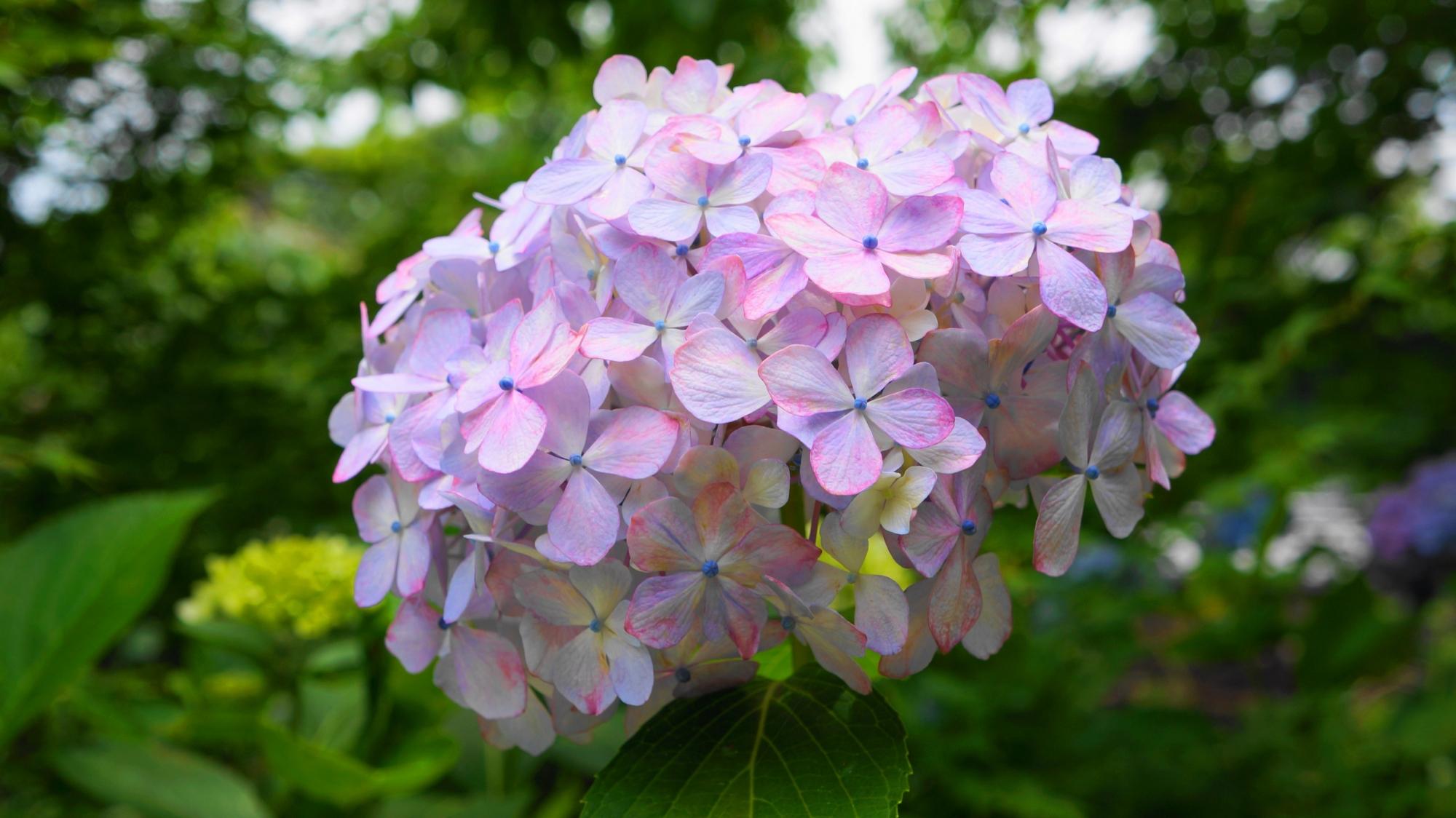 善峯寺の淡い薄紫色の優しげな紫陽花
