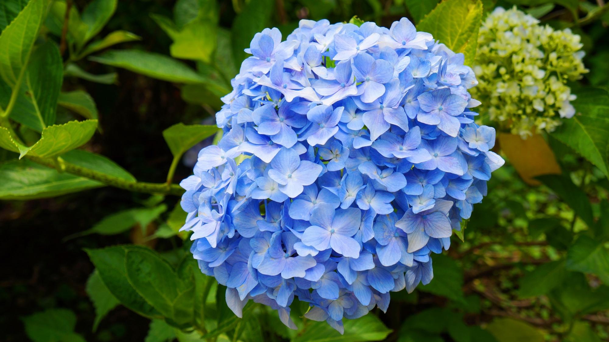 善峯寺の淡い水色の涼しげな紫陽花
