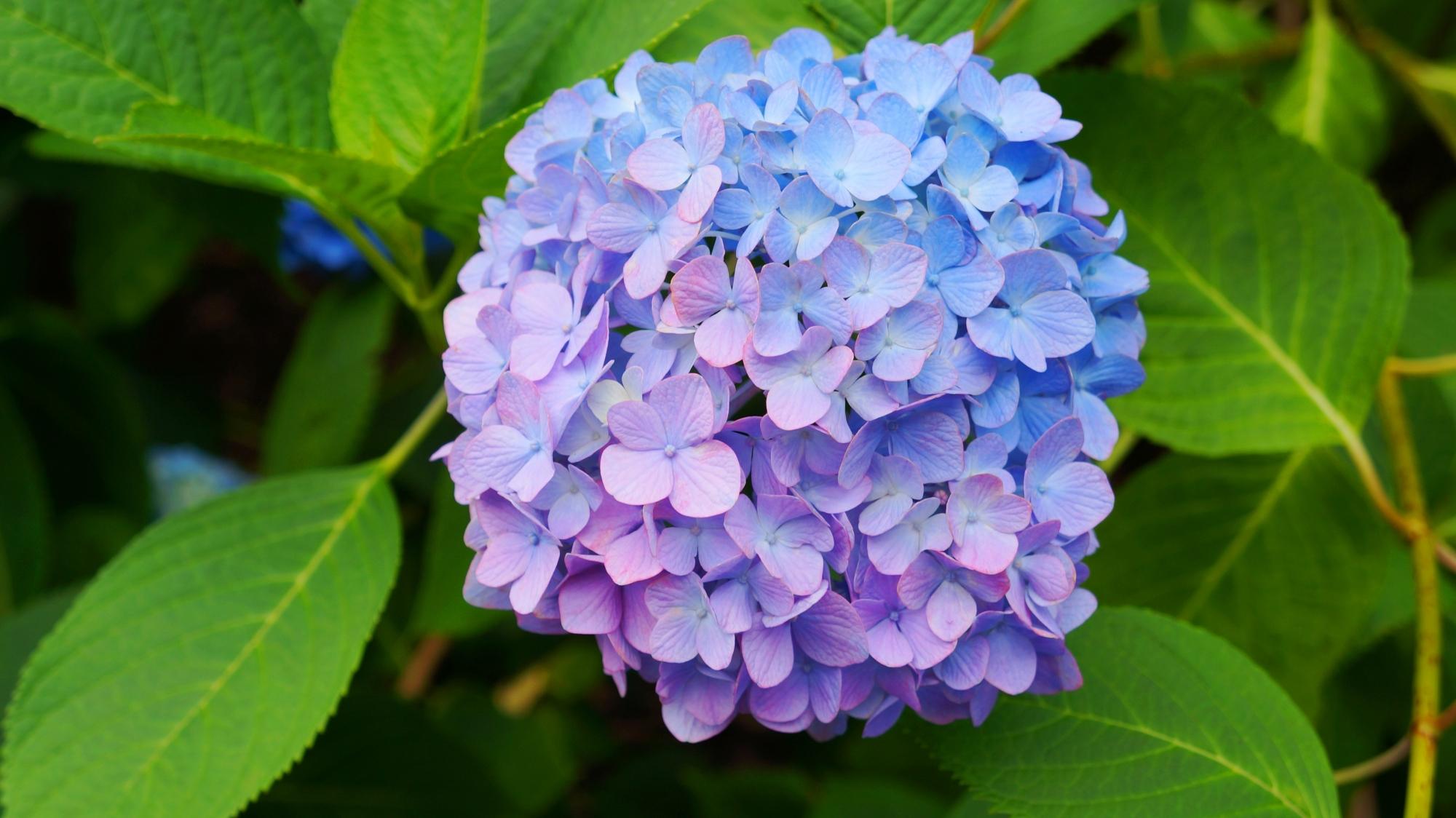 薄い紫と水色の二色の紫陽花