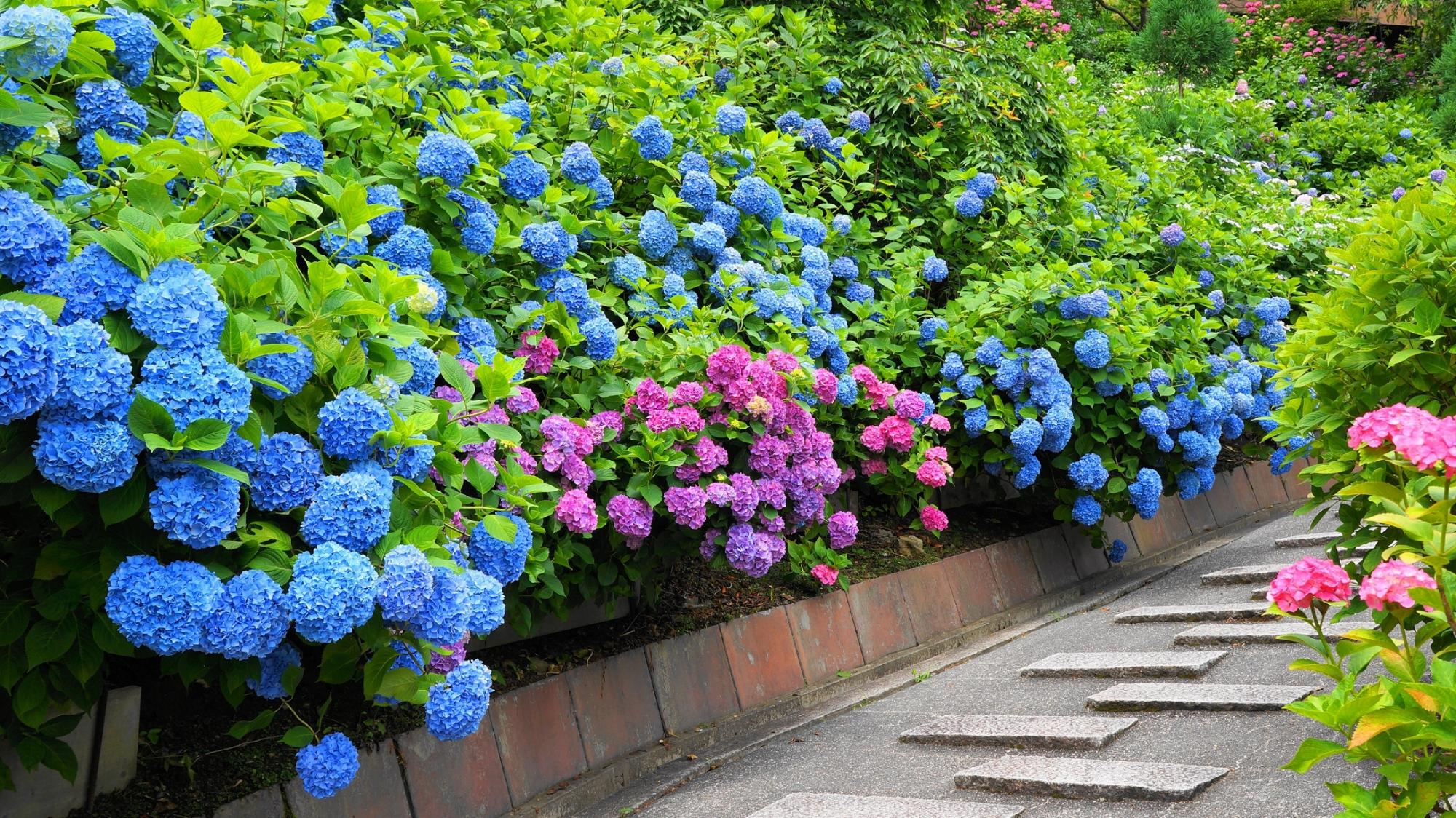 善峯寺の花の重たさで垂れ下がる満開の紫陽花