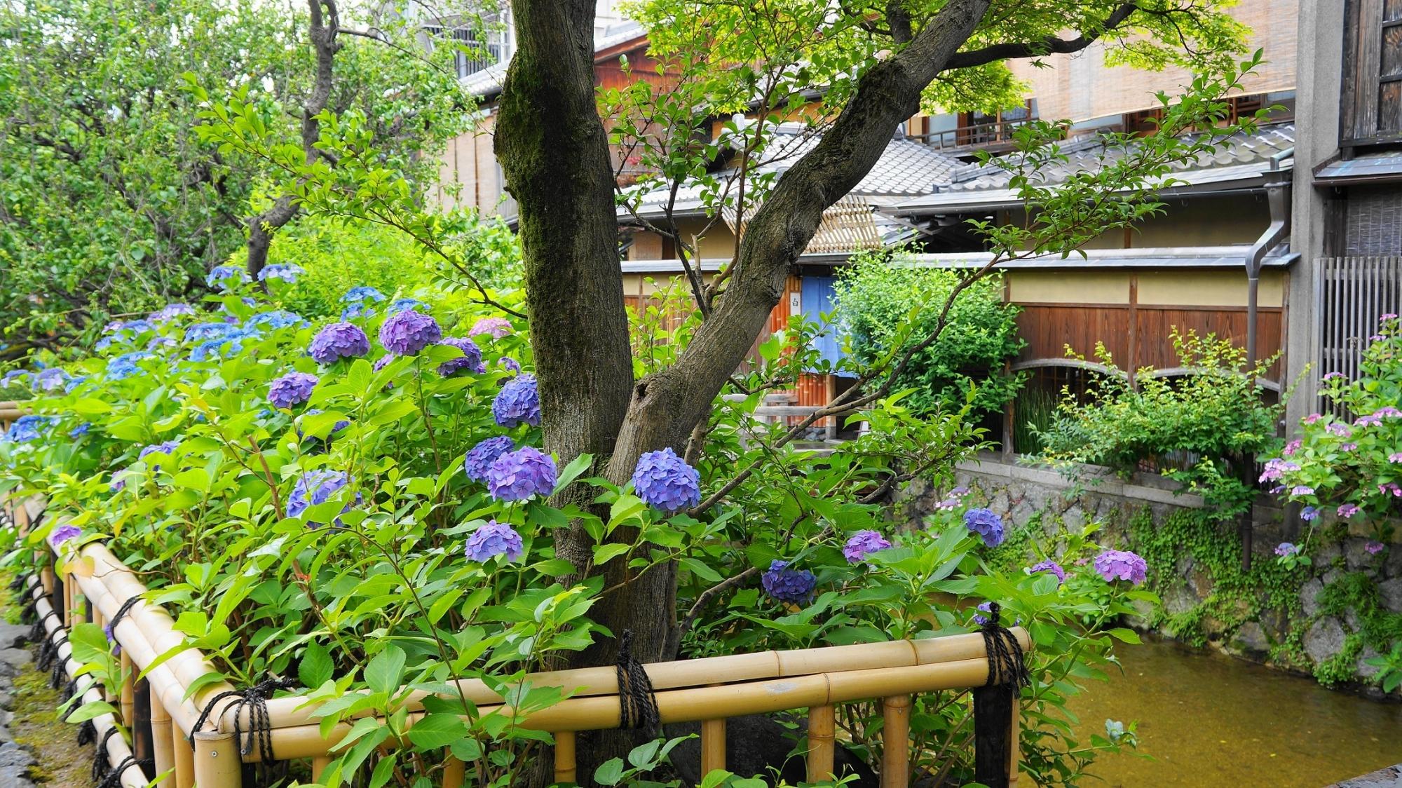 祇園白川の情緒ある街並みを華やぐ紫陽花
