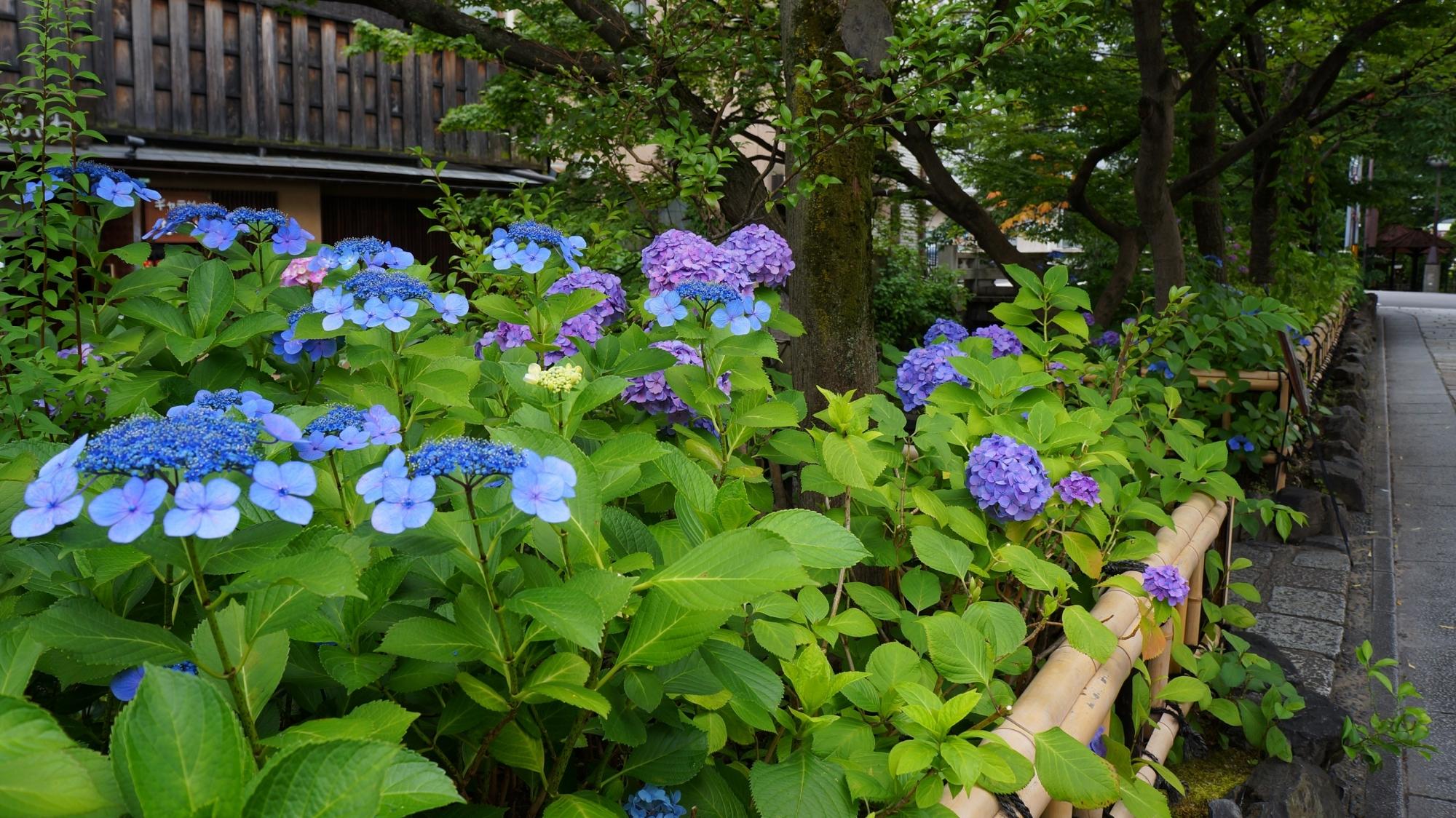 祇園白川の石畳を染める趣きある紫陽花
