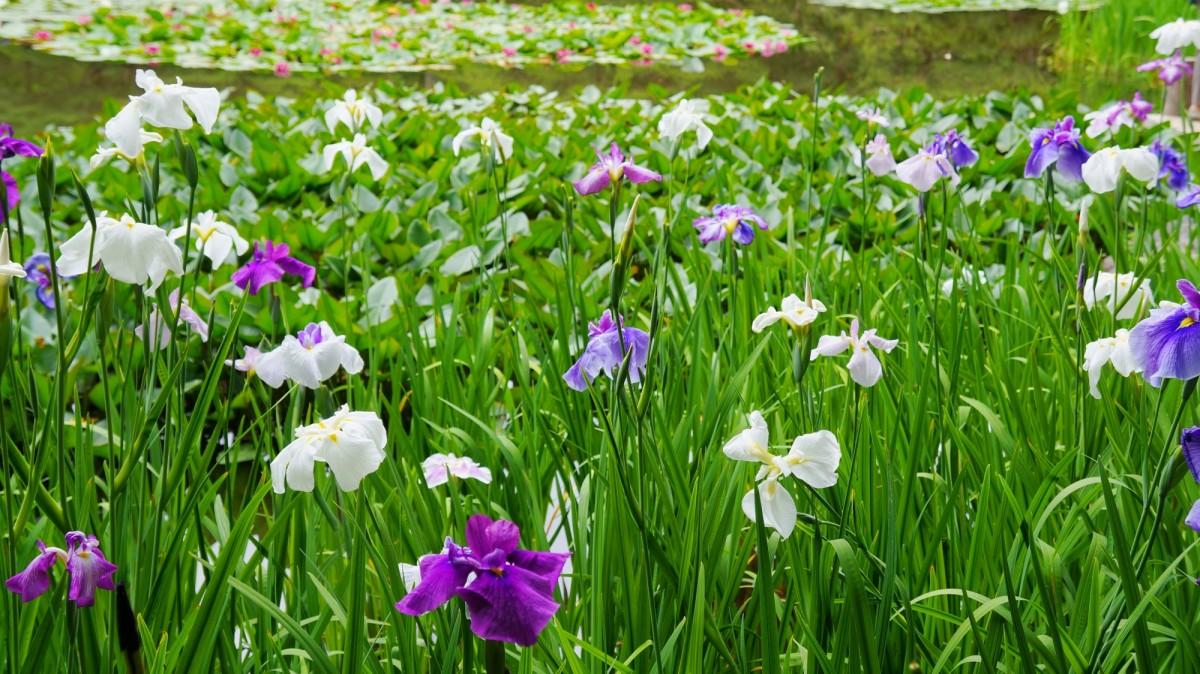 平安神宮神苑に咲く見ごろの花菖蒲(ハナショウブ)