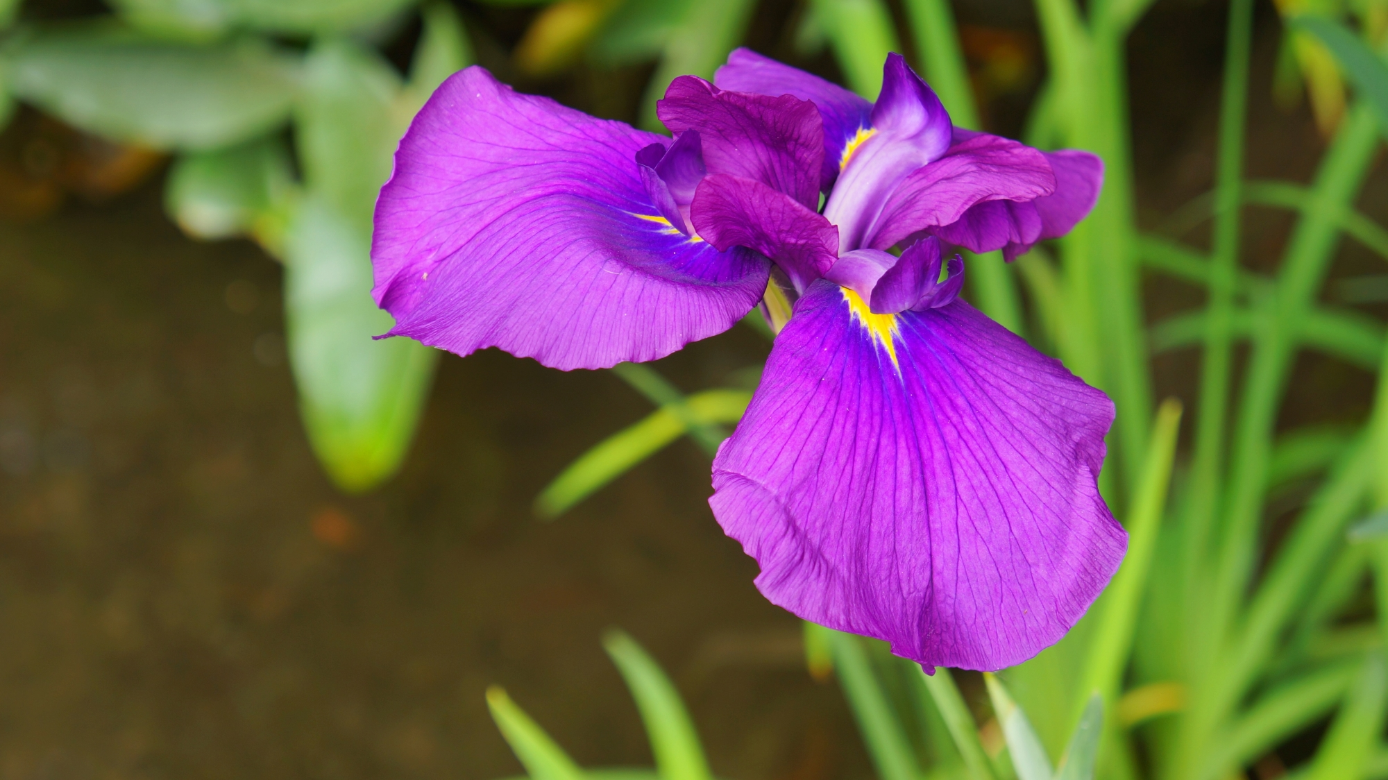 Kyoto Heian-jingu Garden Japanese iris spring