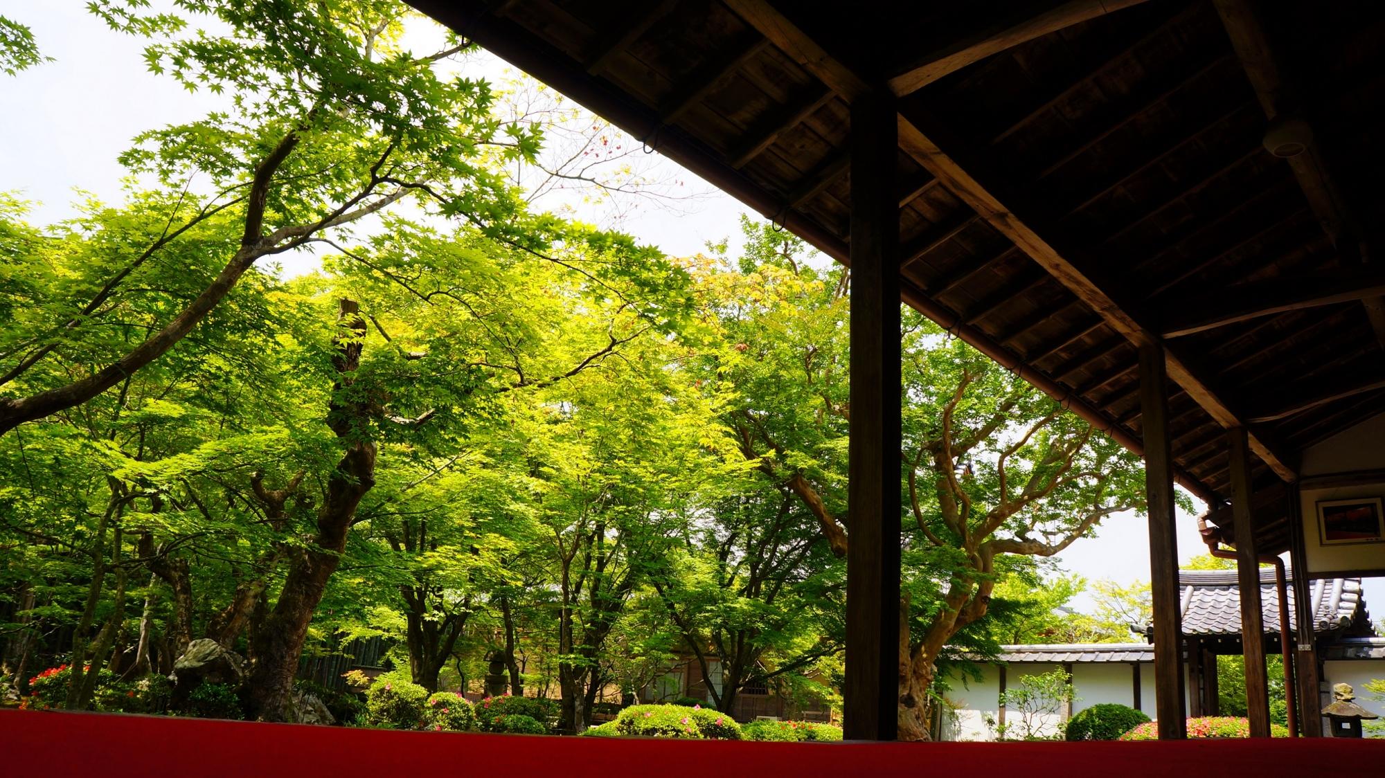 圓光寺の十牛之庭の美しい青もみじと新緑