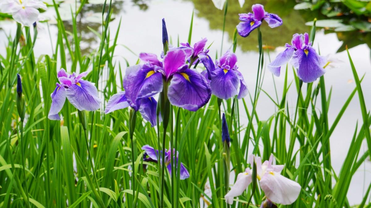 平安神宮神苑に咲く満開の豪華なハナショウブ