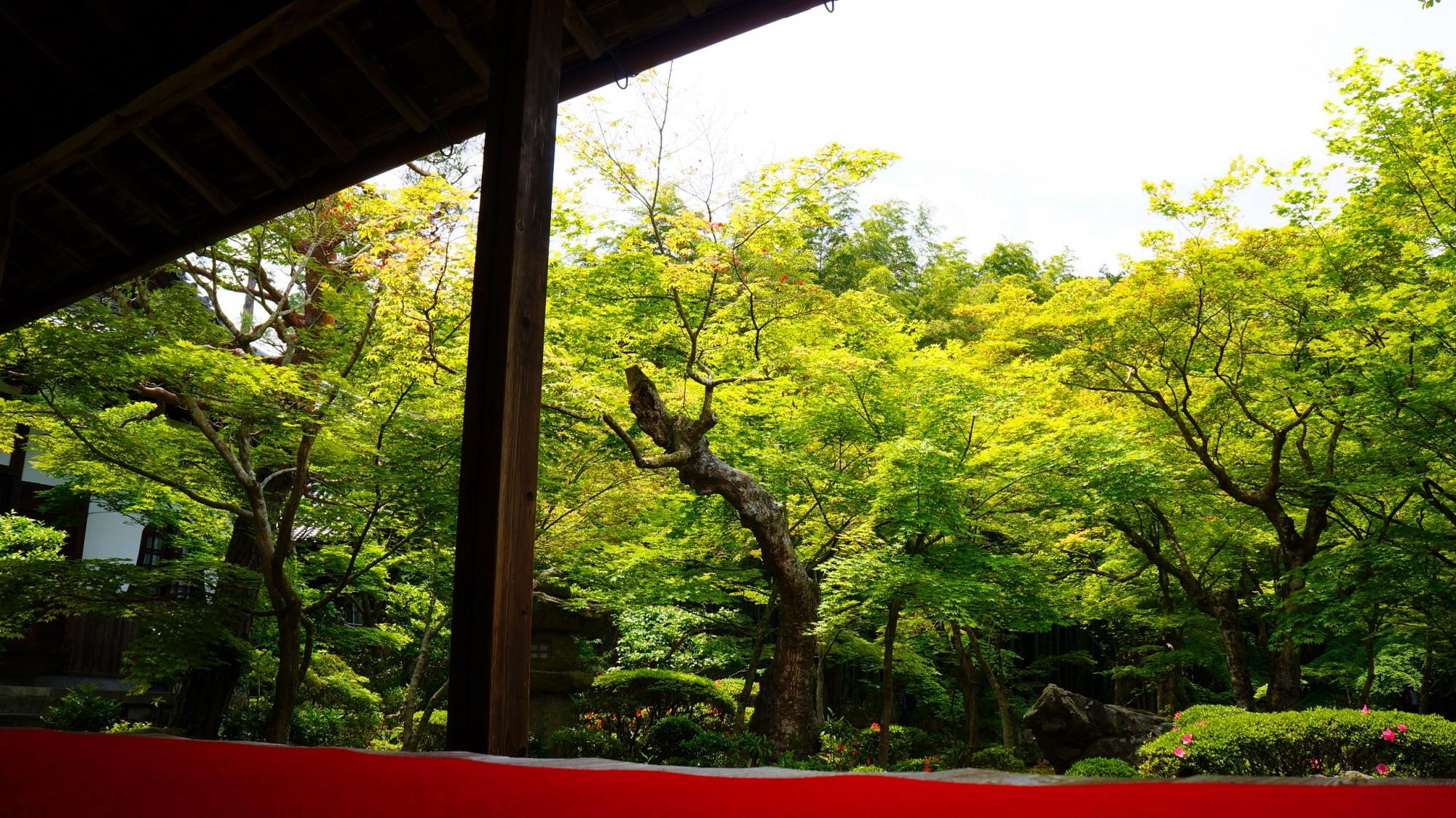 圓光寺の十牛之庭の眩しい青もみじと新緑