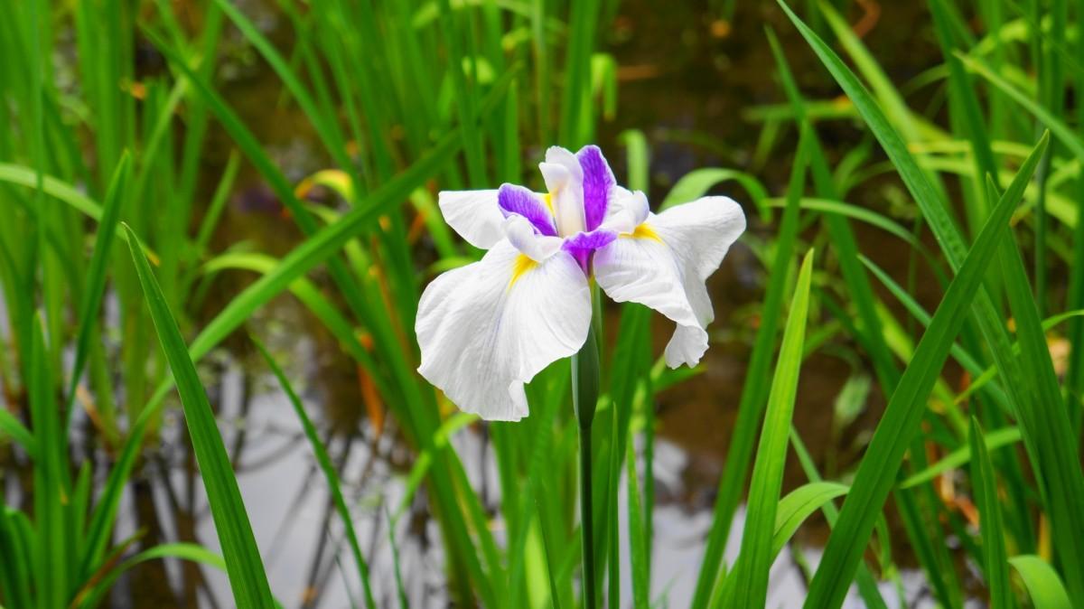平安神宮神苑に咲く見ごろのはなしょうぶ
