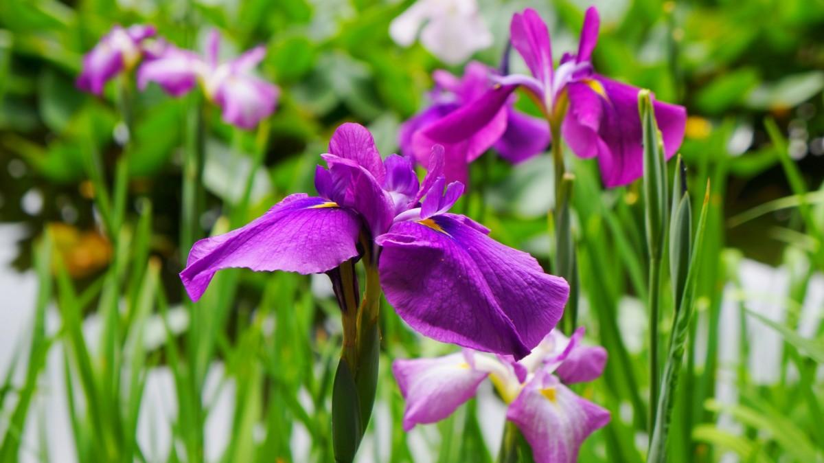 平安神宮神苑に咲く見ごろの華やかな花菖蒲