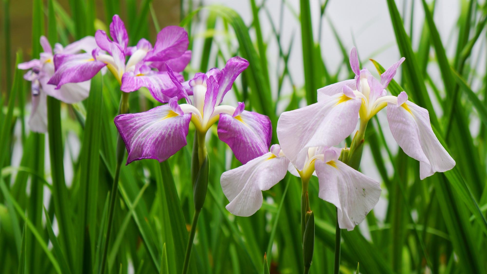 はなしょうぶの名所の平安神宮神苑に咲く見ごろの華やかな花菖蒲