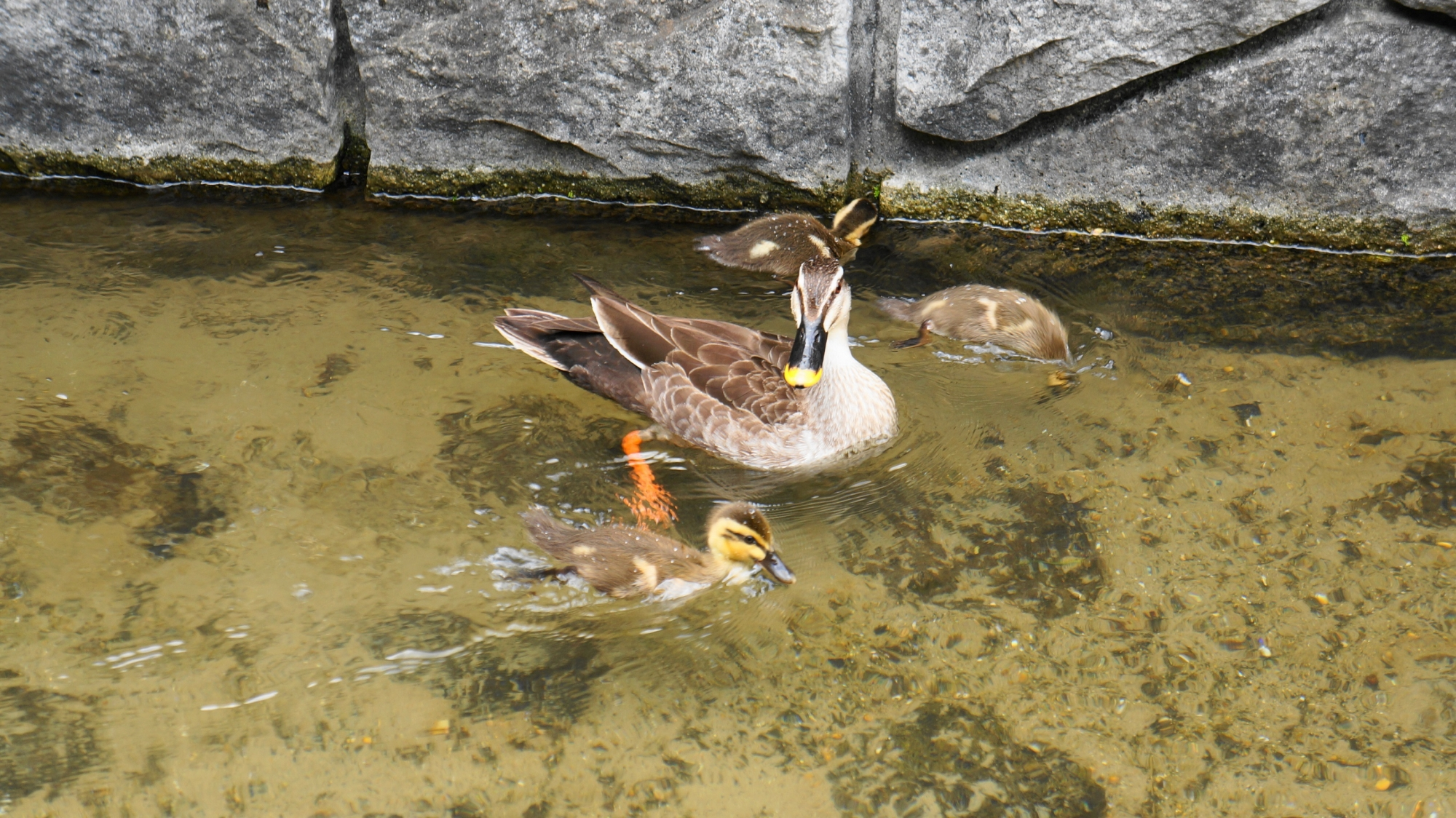 子鴨を優しく見守る親鴨の長閑で心和む情景