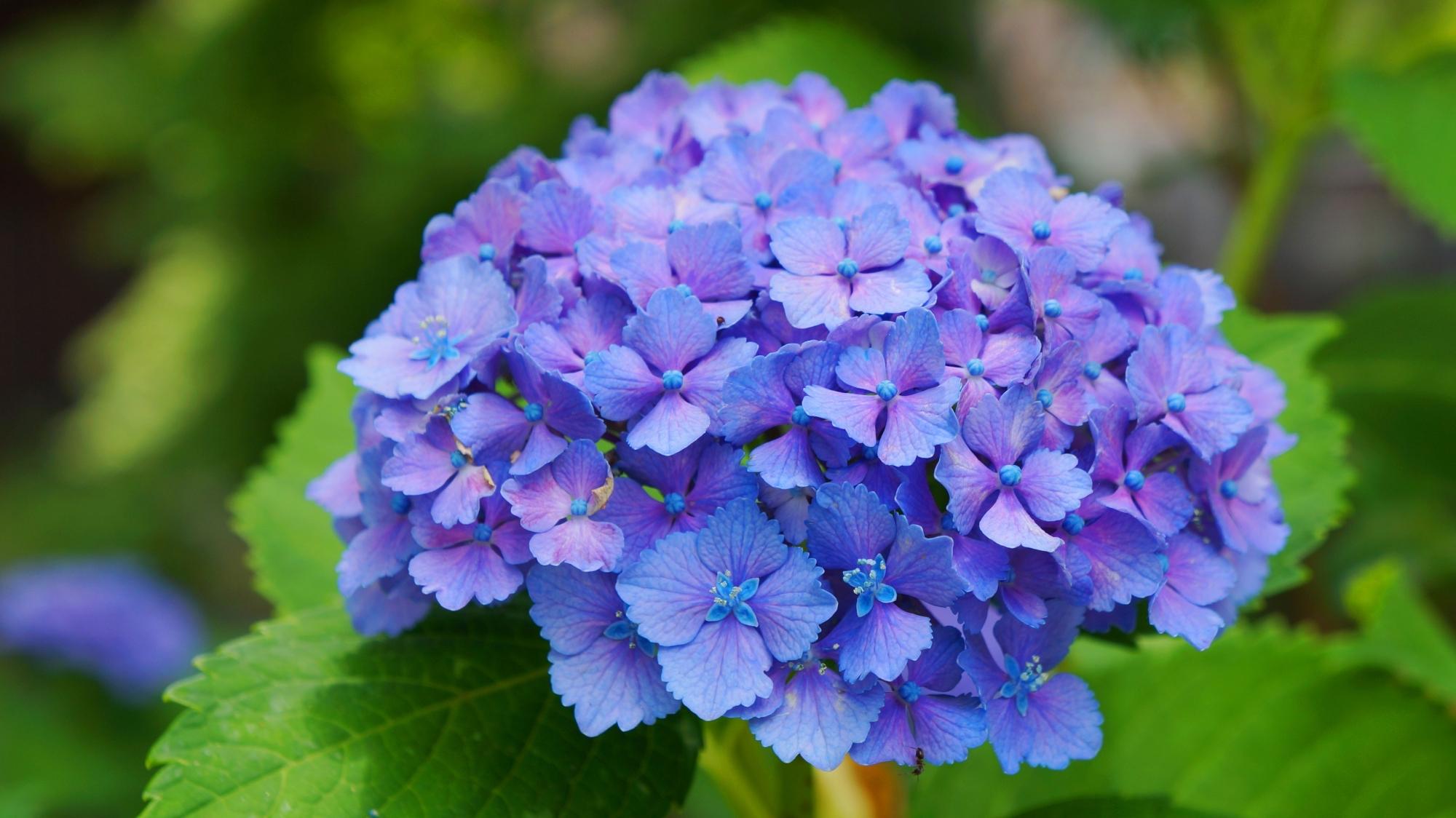 祇園白川の美しく艶やかな青とも紫とも言えそうな紫陽花