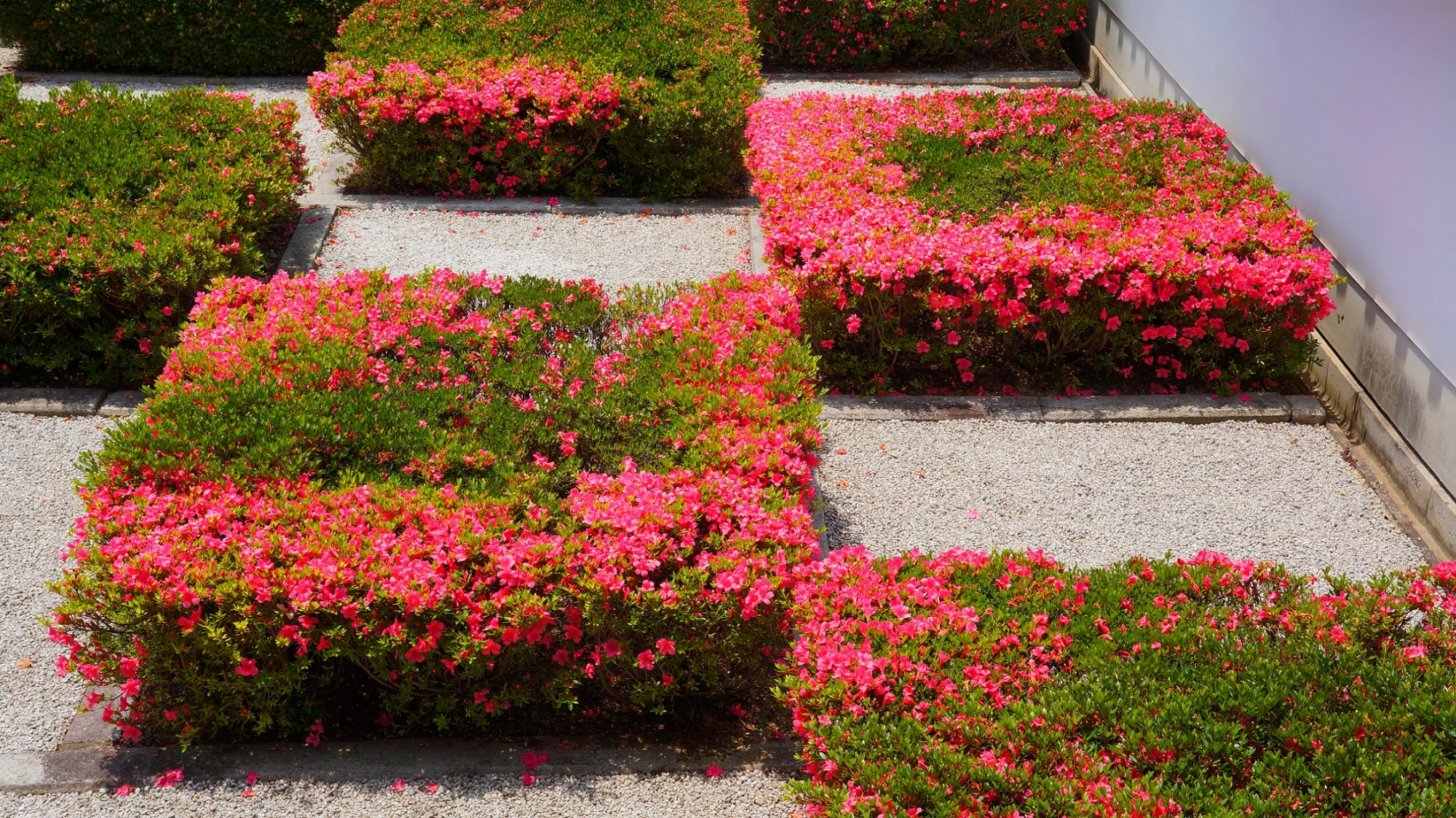 輝くピンクのさつきの花が彩る白砂と四角い刈り込み