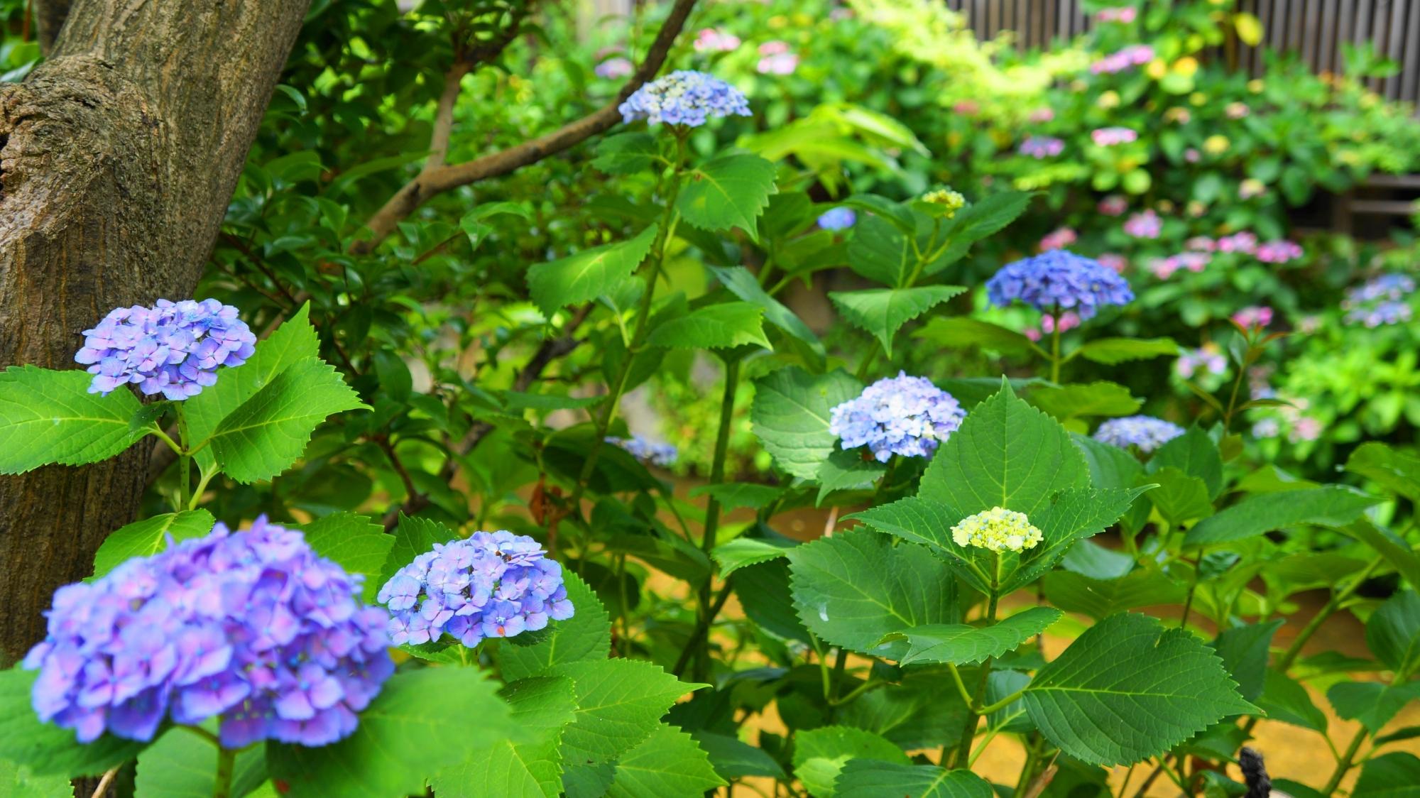 鮮やかな彩りにつつまれる初夏の祇園白川