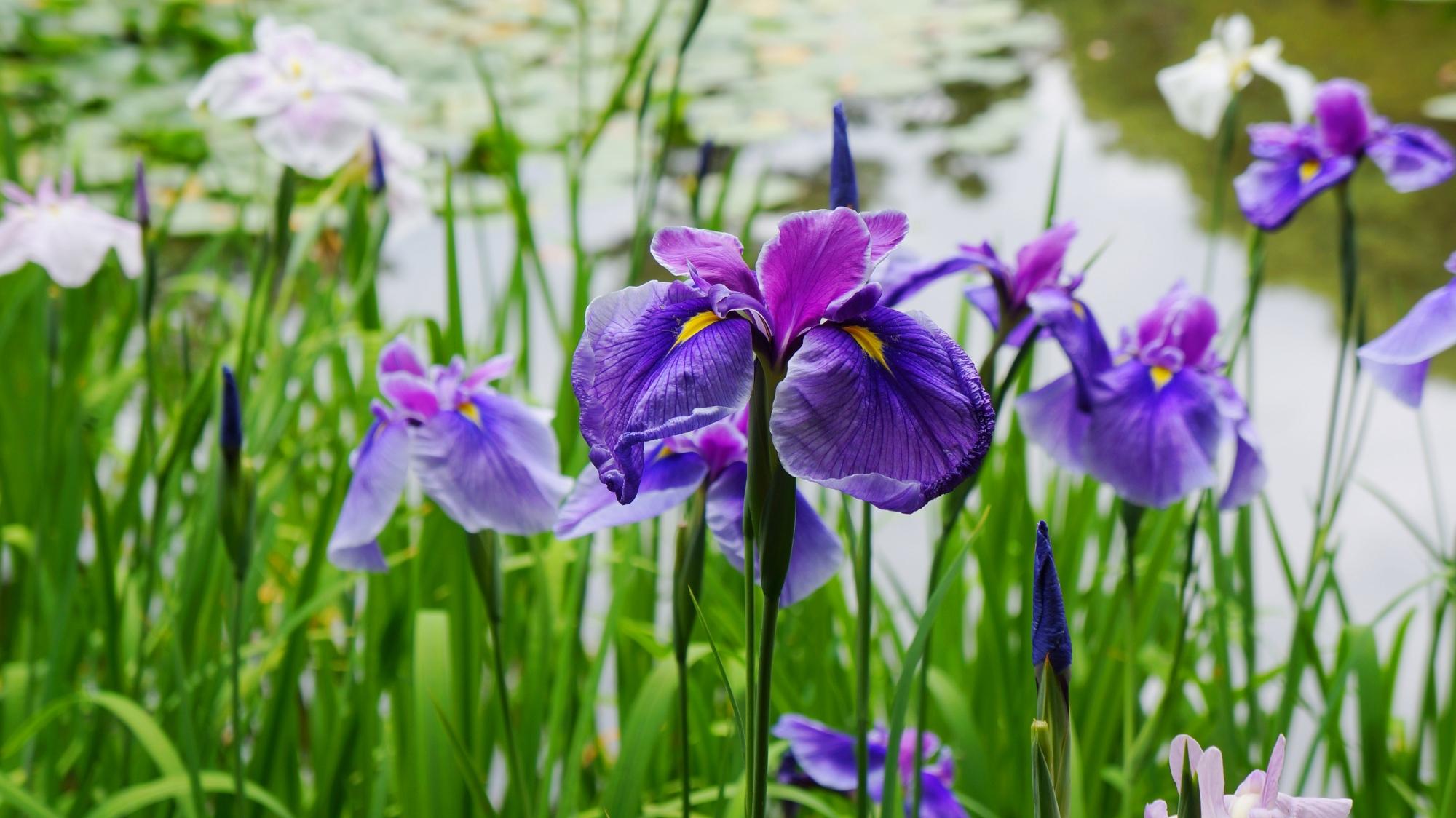 平安神宮神苑に咲く見ごろのあっぱれな花菖蒲
