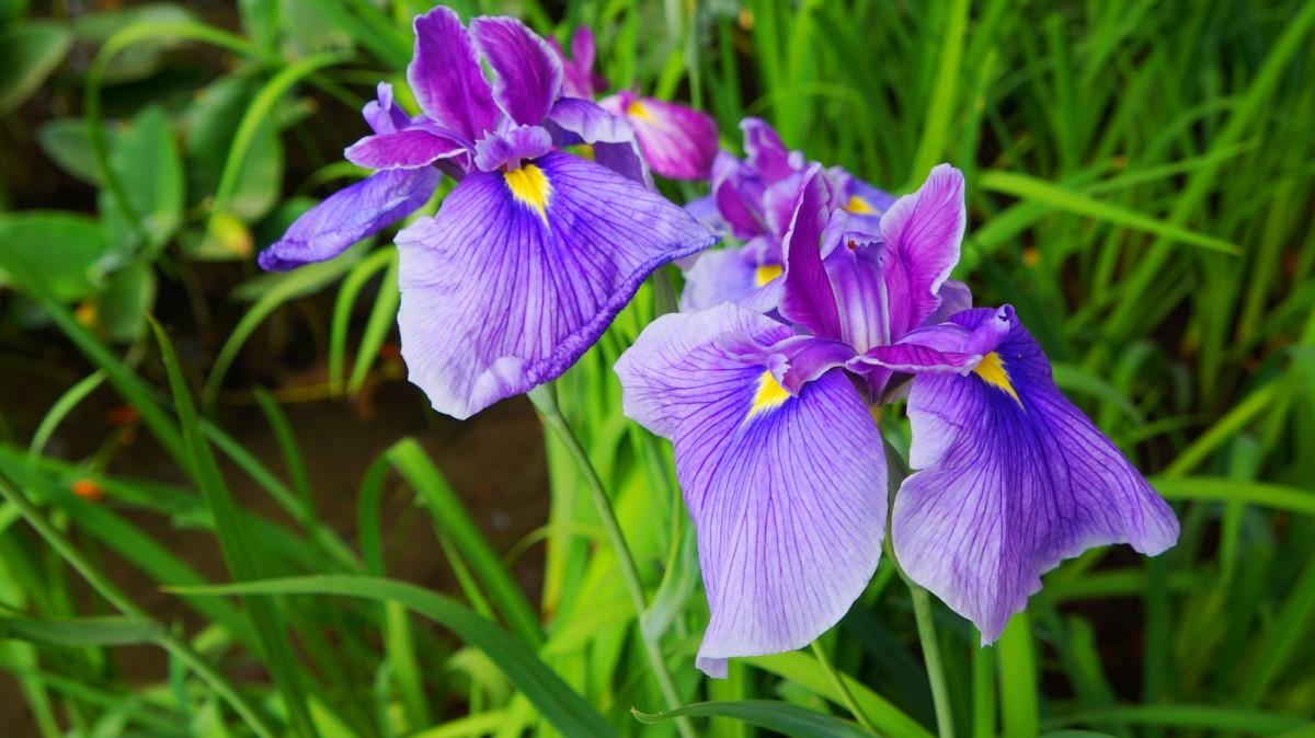 平安神宮神苑に咲く見ごろの極上の花菖蒲
