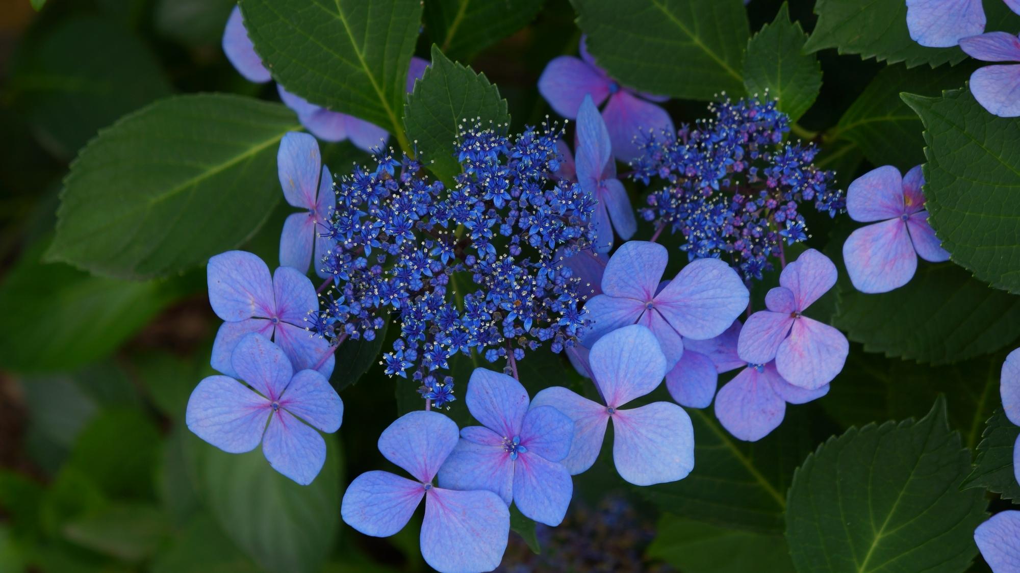 祇園白川の妖艶で幻想的な色合いの額紫陽花