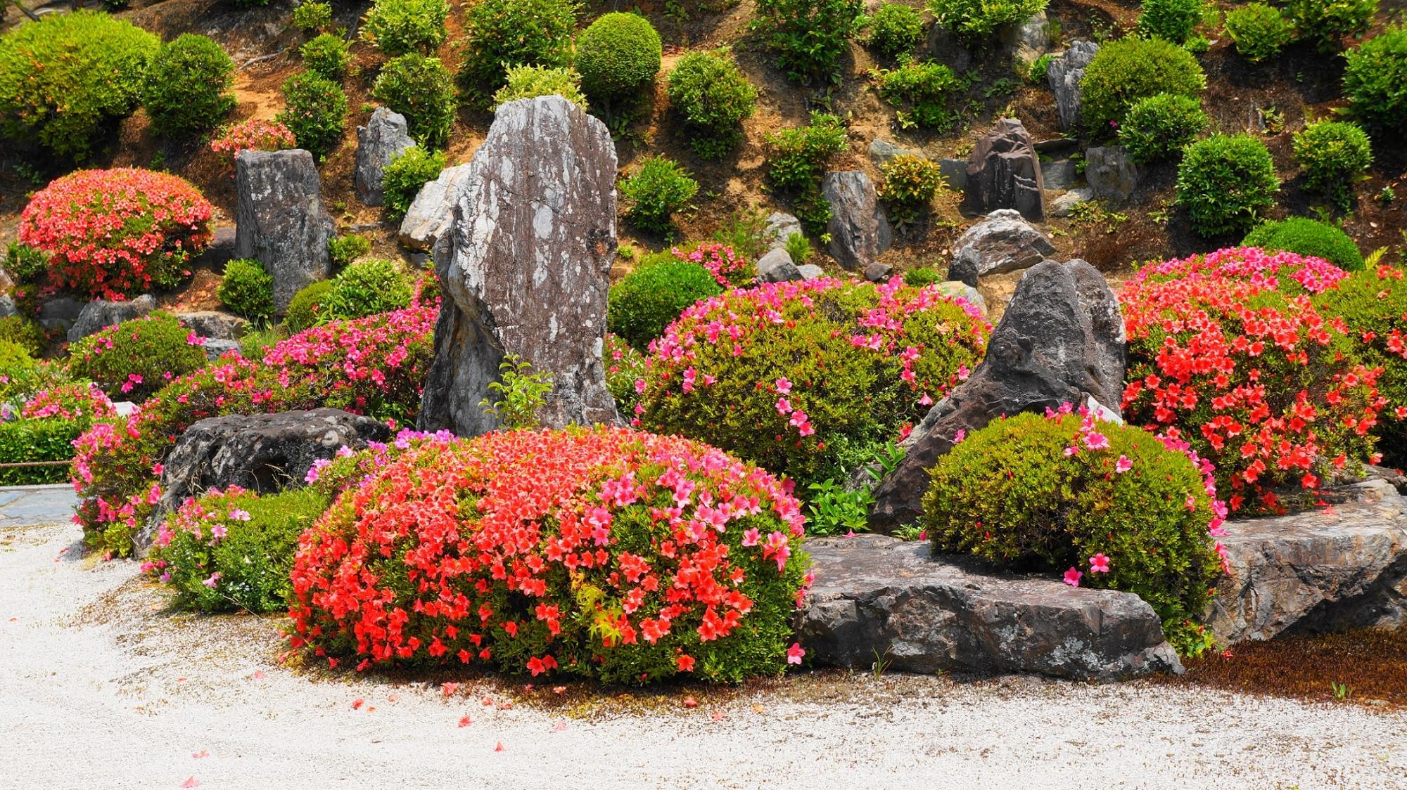 開山堂庭園の力強い岩の間で輝くサツキの花