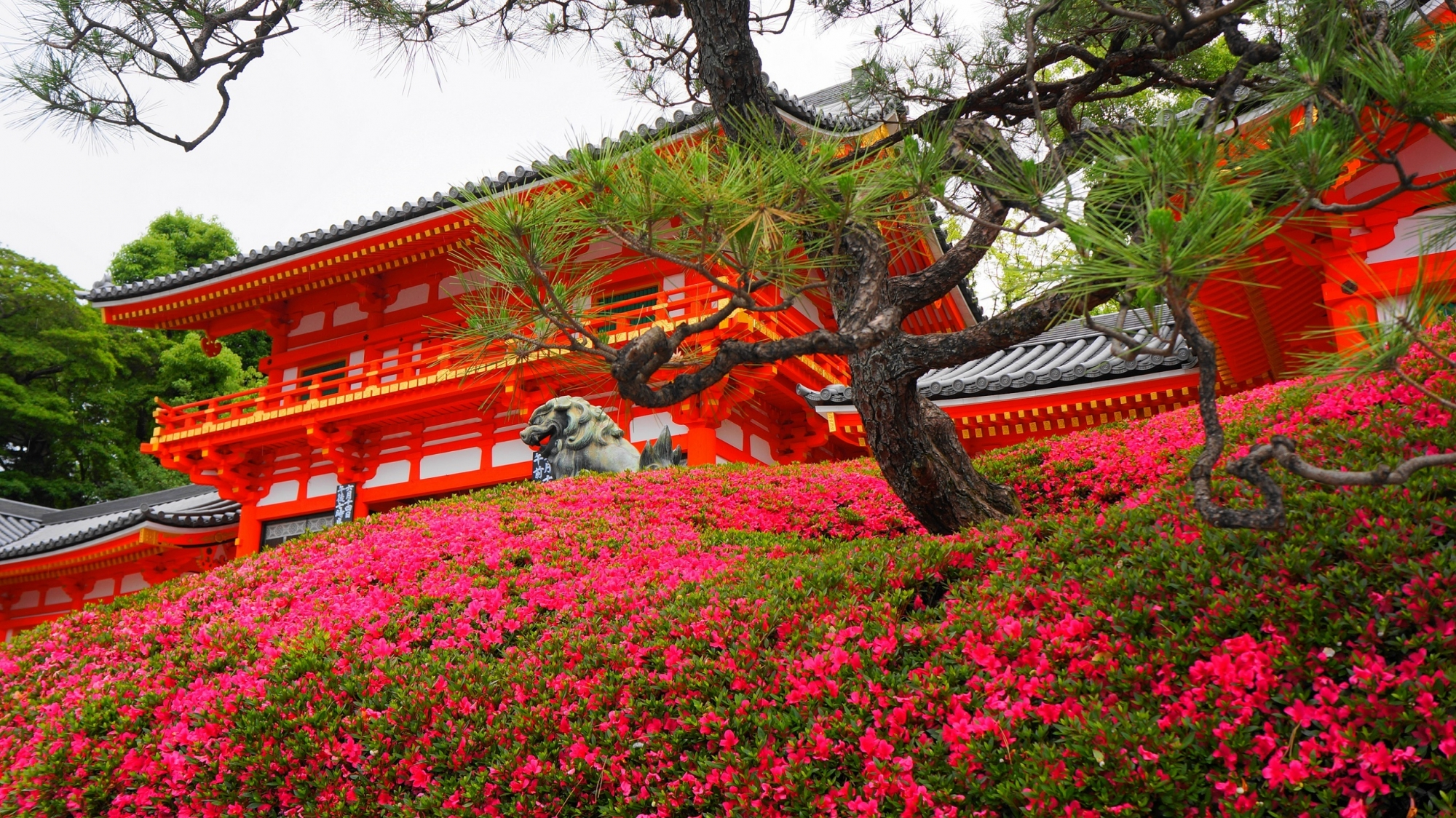 Kyoto Yasaka-jinja Shrine Azalea 見ごろ さつき 八坂神社