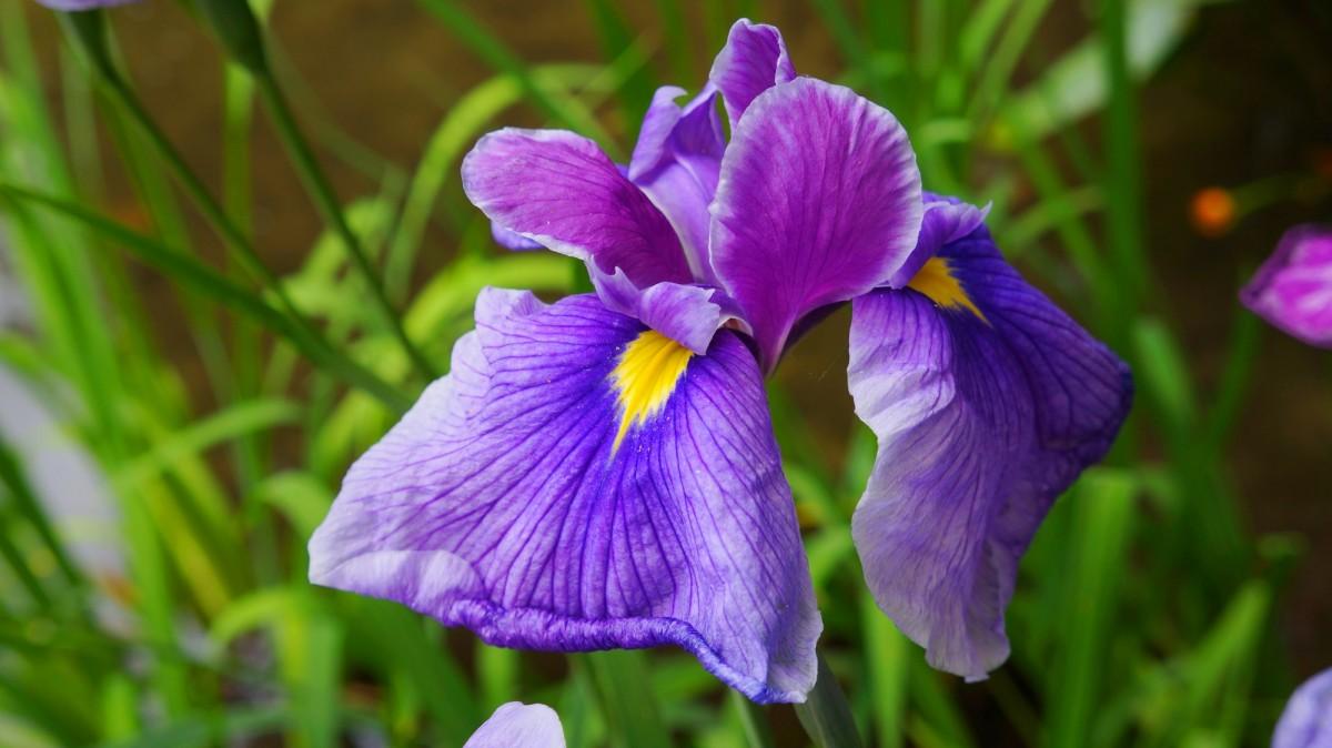 ハナショウブの名所の平安神宮神苑に咲く見ごろの優美な花菖蒲