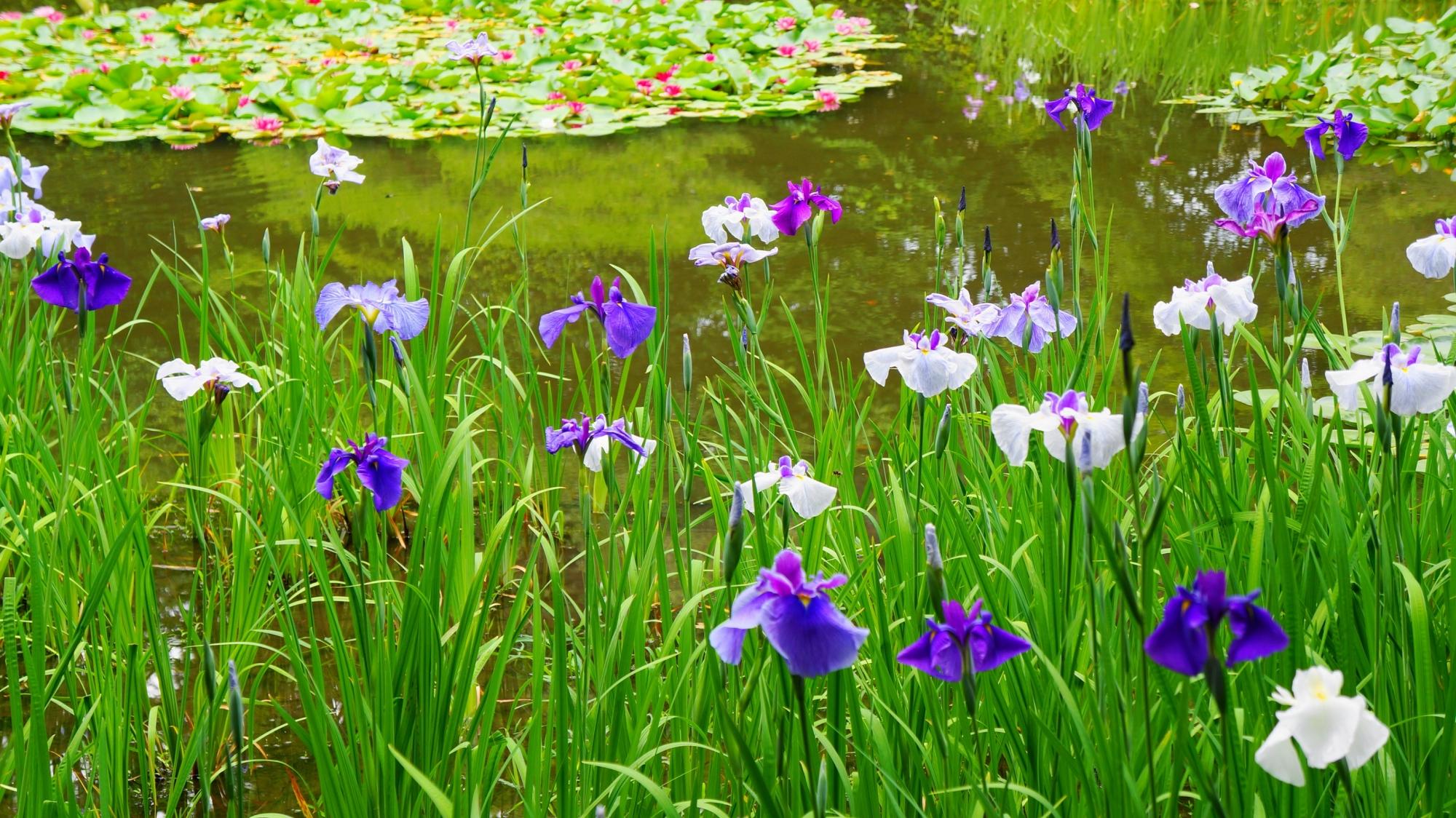 満開の綺麗な花菖蒲につつまれた平安神宮神苑