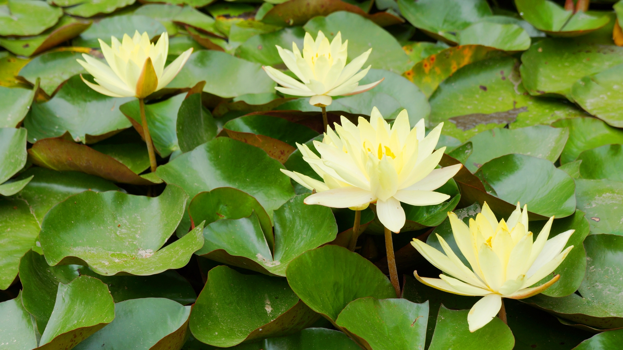 平安神宮神苑の見事な満開の睡蓮