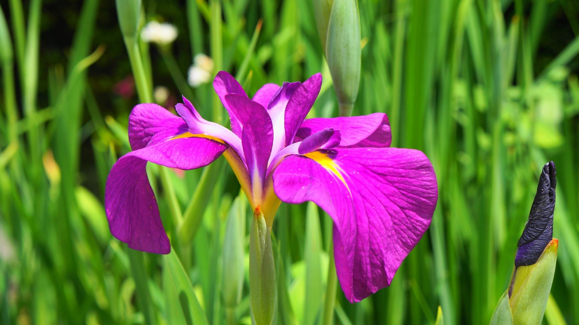 東福寺の方丈前に咲く紫の鮮やかな色合いの花菖蒲(はなしょうぶ)