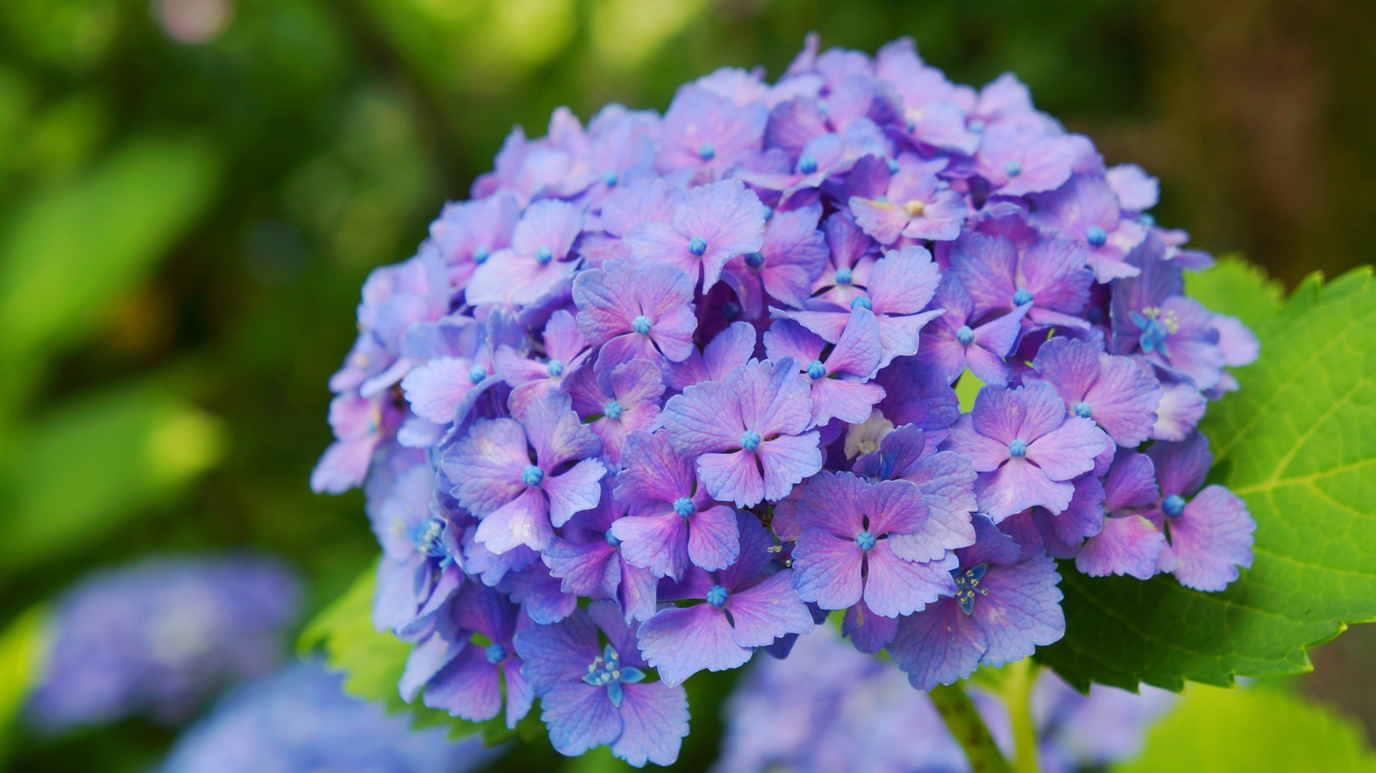 花びら一枚一枚は非常に繊細で可憐な祇園白川のアジサイ
