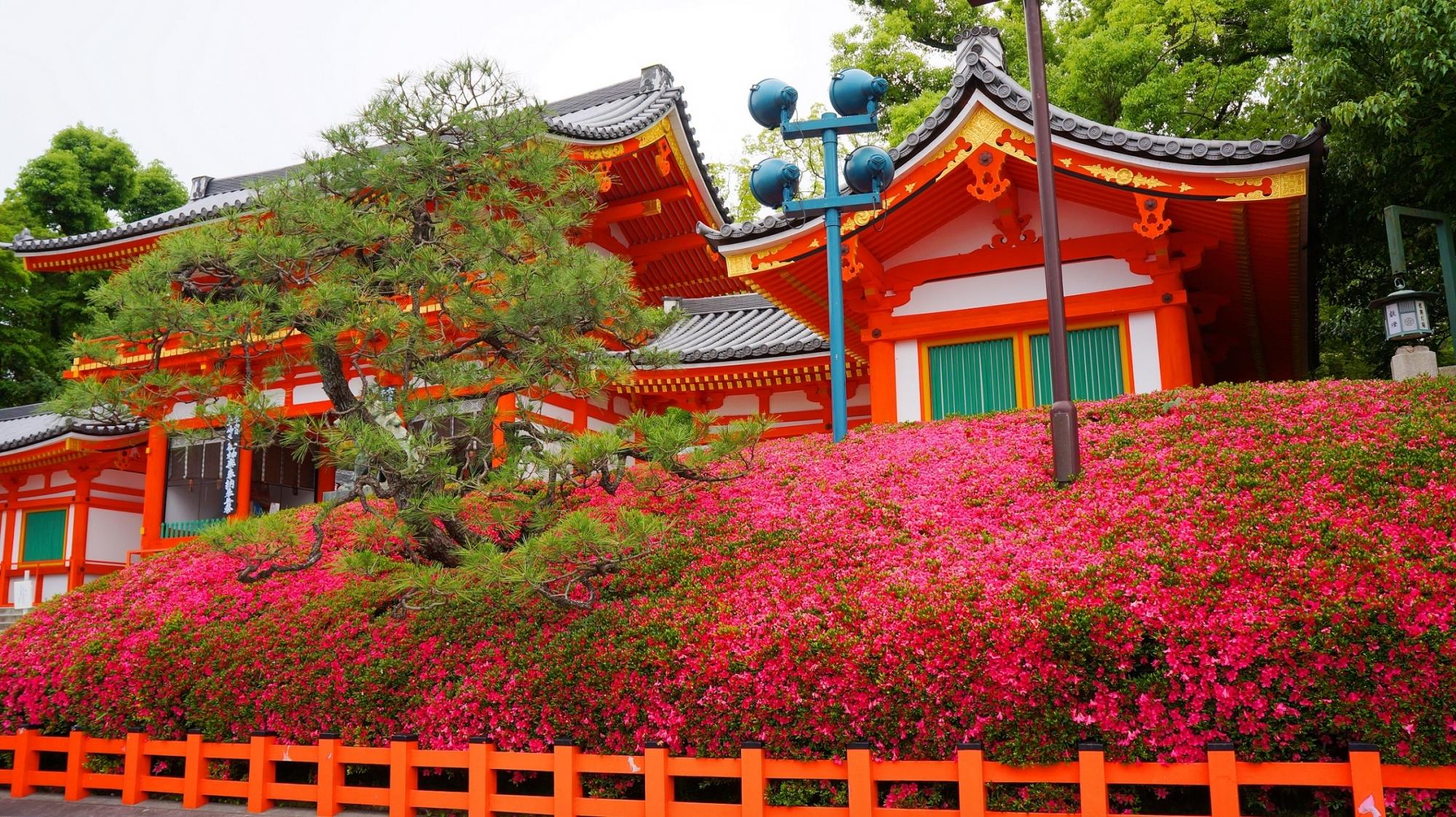 見ごろのサツキにつつまれた八坂神社の西楼門