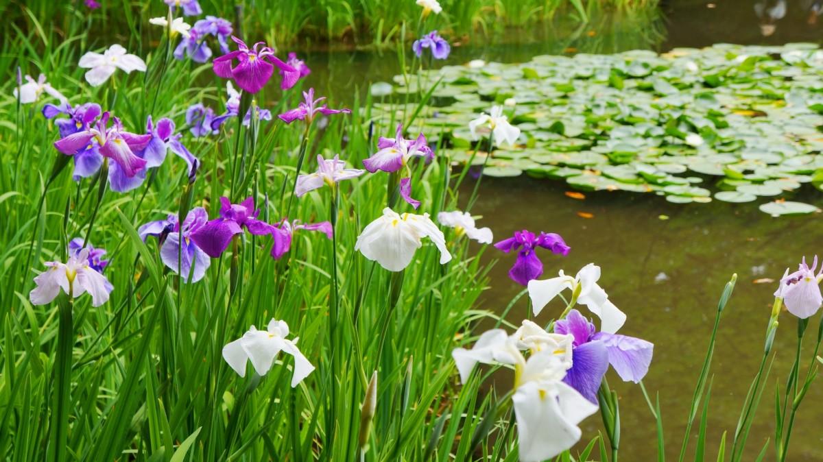 ハナショウブの名所の平安神宮神苑に咲く満開のハナショウブ