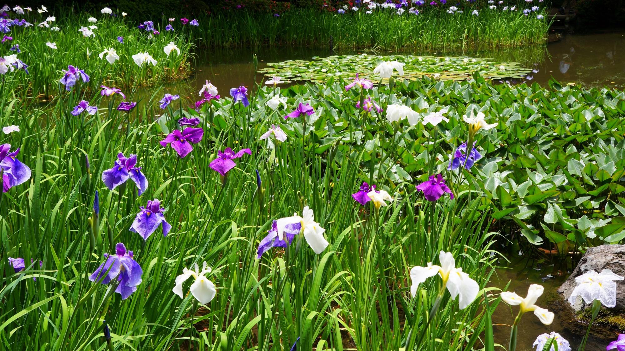 満開のハナショウブにつつまれた春の平安神宮神苑