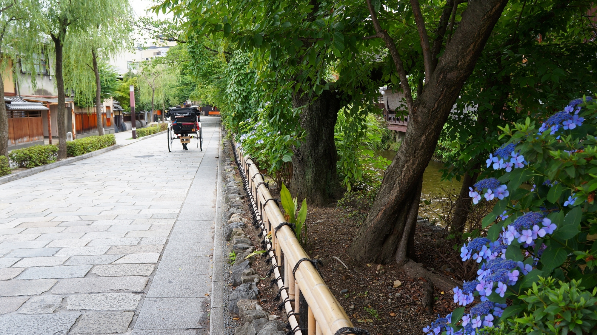 祇園白川 紫陽花 情緒ある街並みと初夏の彩り