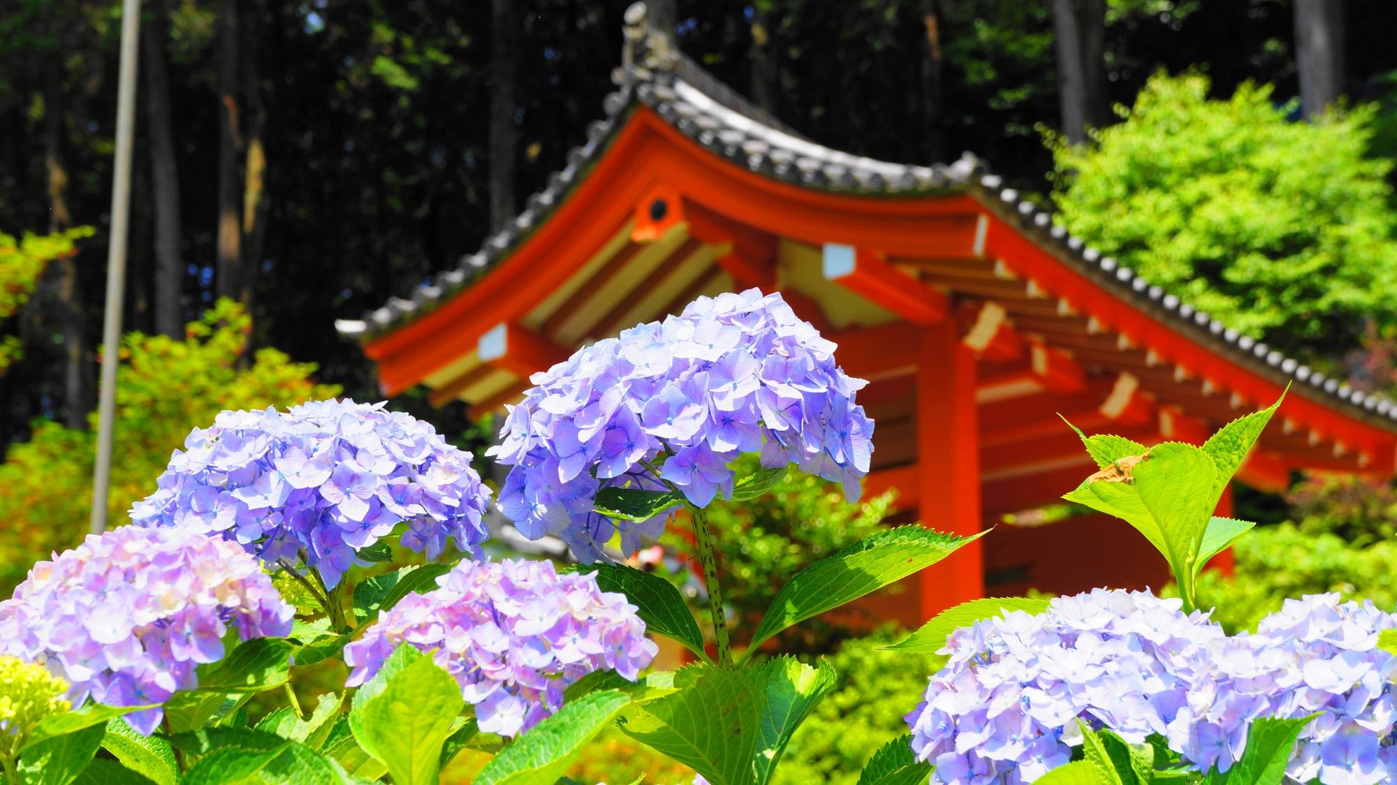 朱色の山門を背景にした華やかな絵になる紫陽花