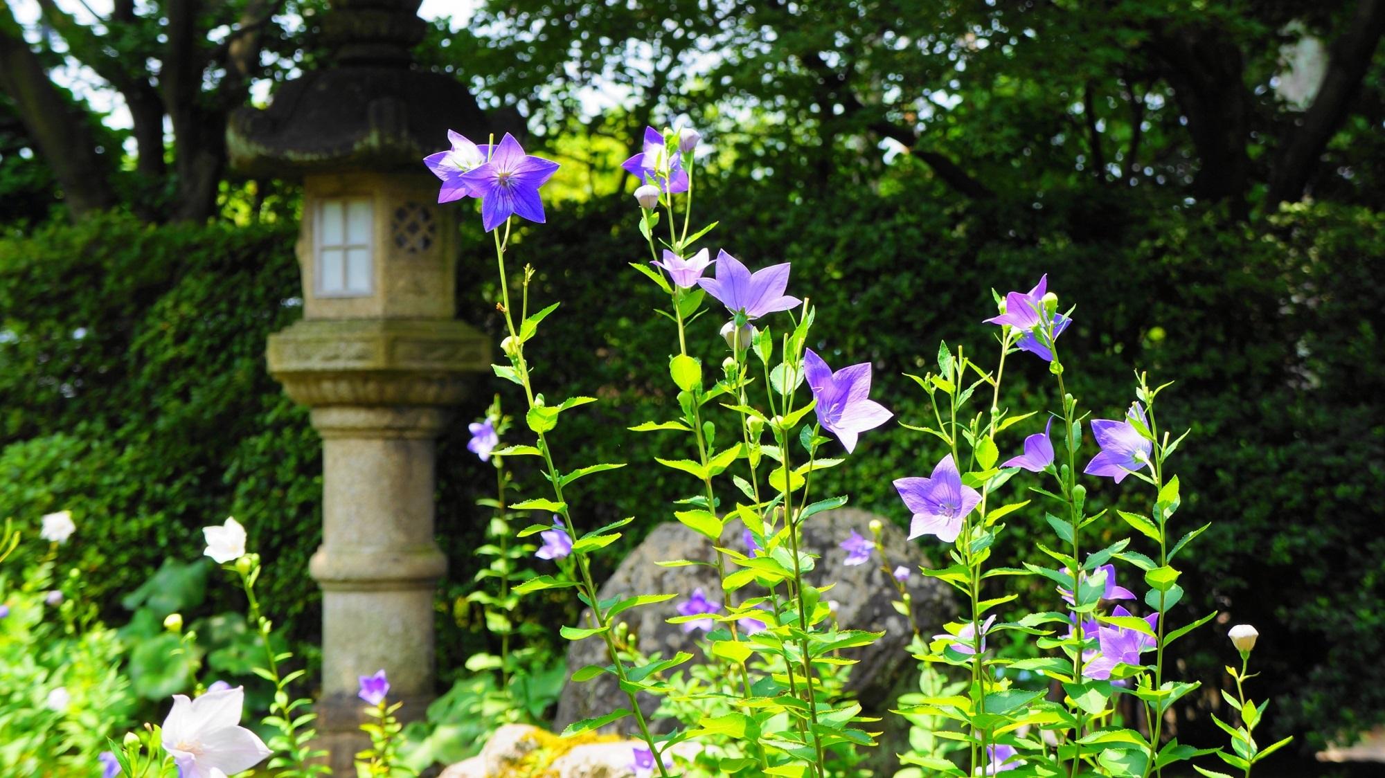 紫と白の初夏の彩り 東福寺 天得院のキキョウ