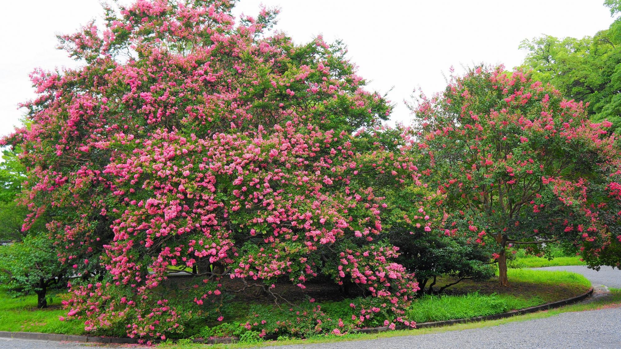 ピンクの花をいっぱいつけた京都御苑の閑院宮邸跡前の百日紅(サルスベリ)