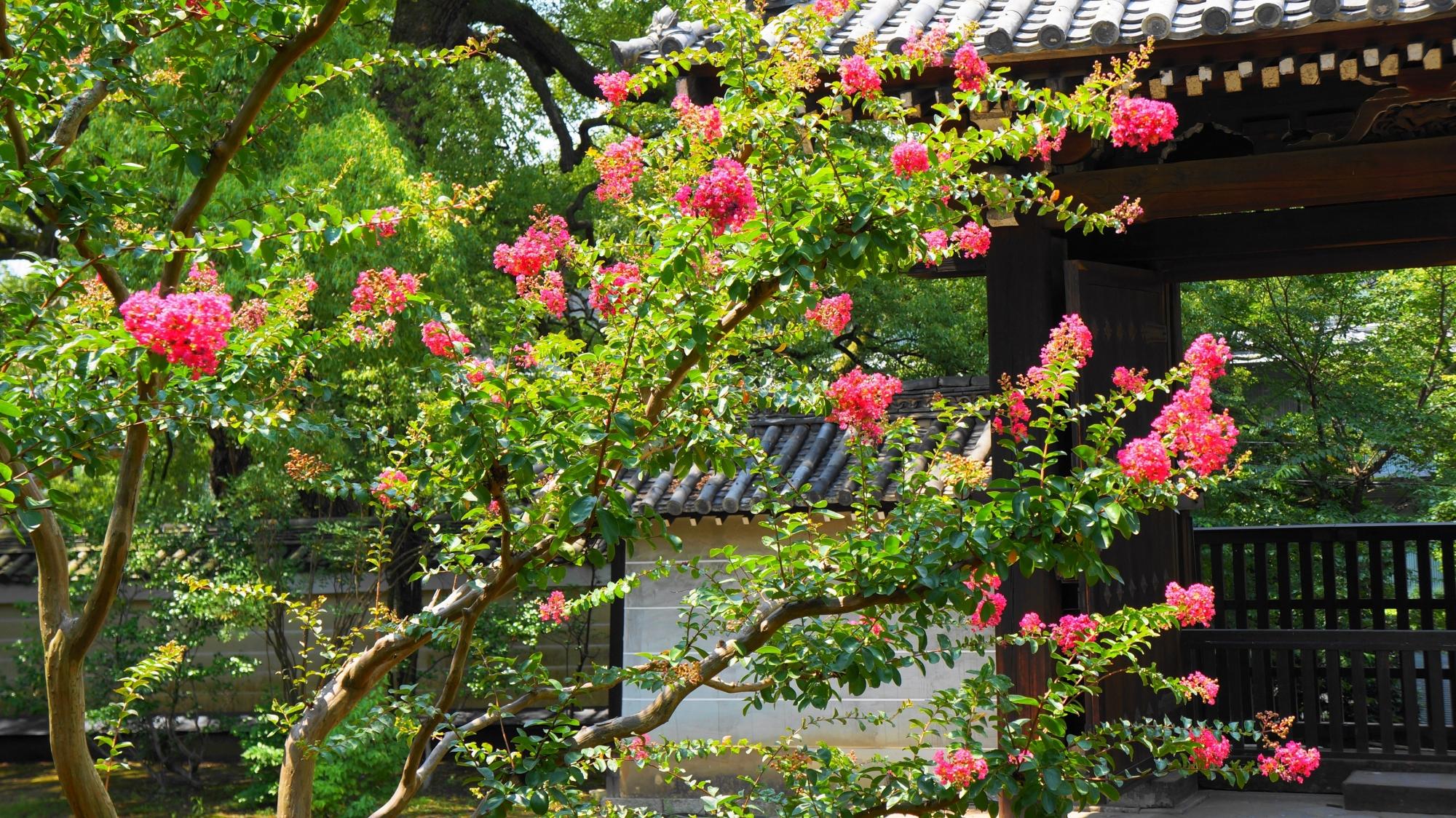 青蓮院の太陽を浴びて輝くサルスベリのピンクの花