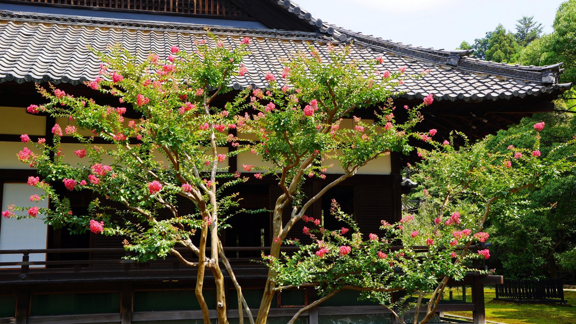 夏のそよ風に揺らめく煌くピンクの百日紅の花