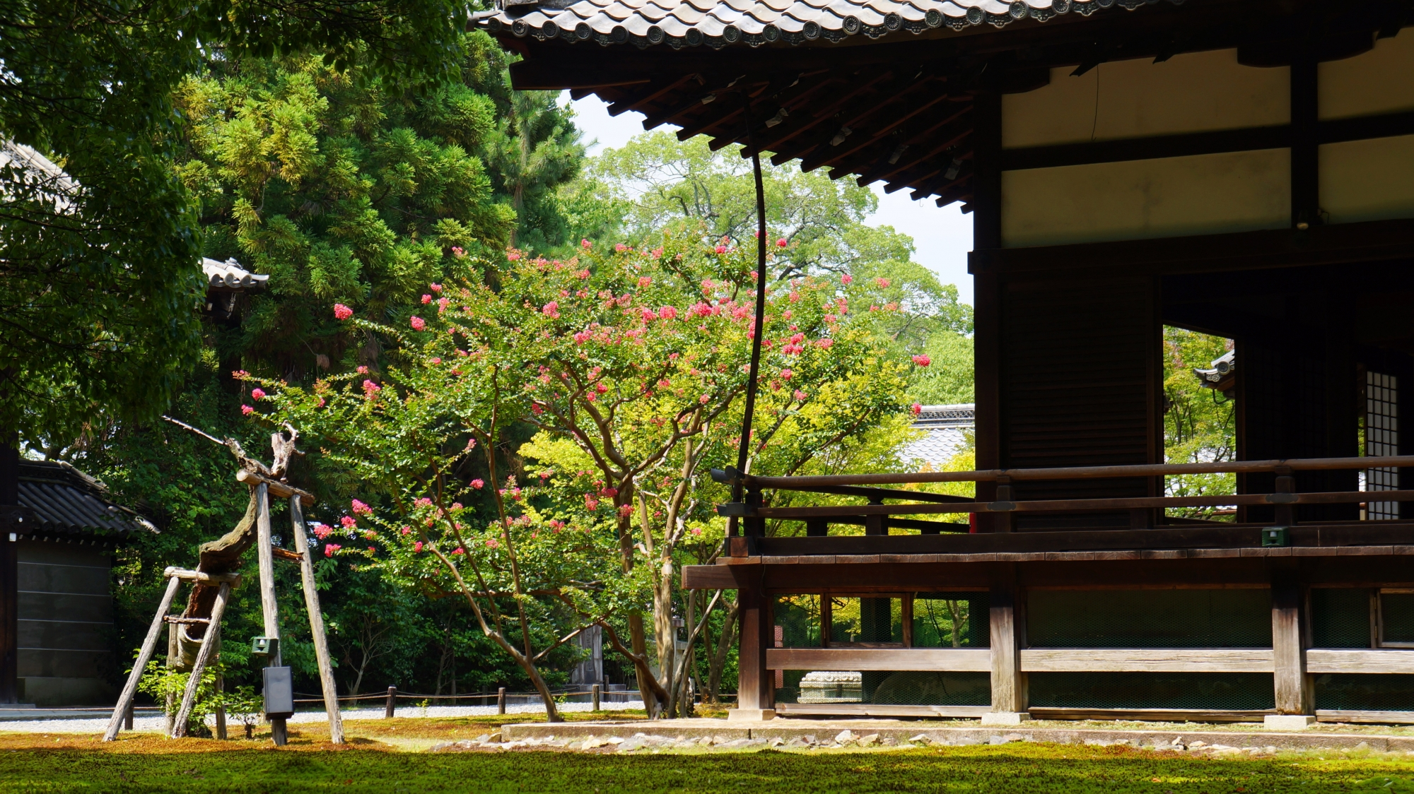青蓮院の宸殿横で煌くピンクのサルスベリ