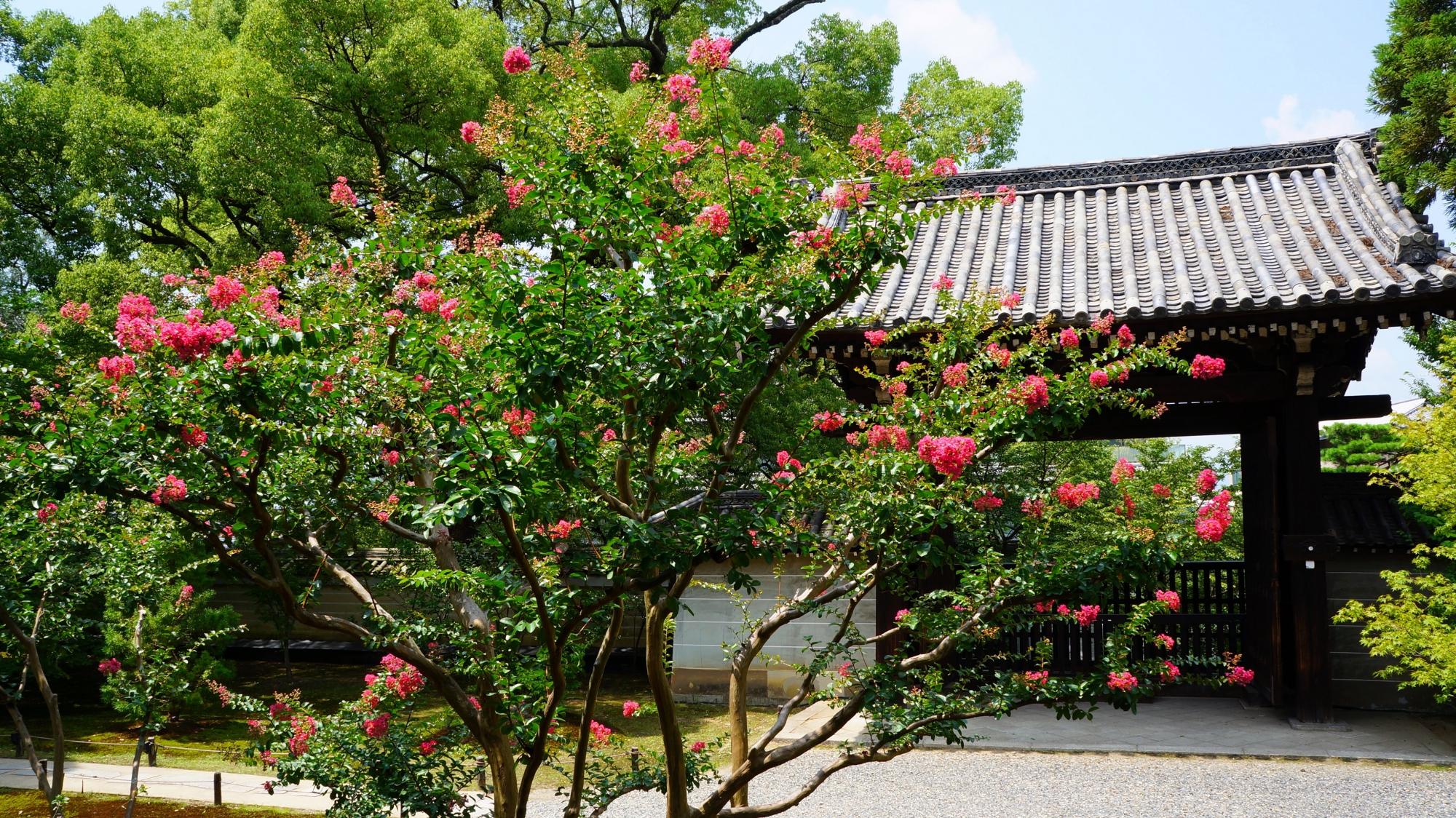 サルスベリの花に彩られる夏の青蓮院の四脚門