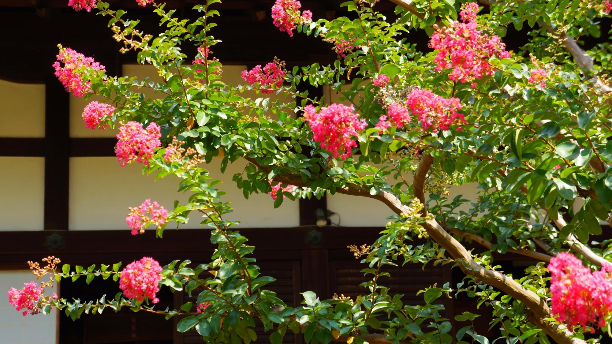 咲き誇るモコモコした百日紅のピンクの花